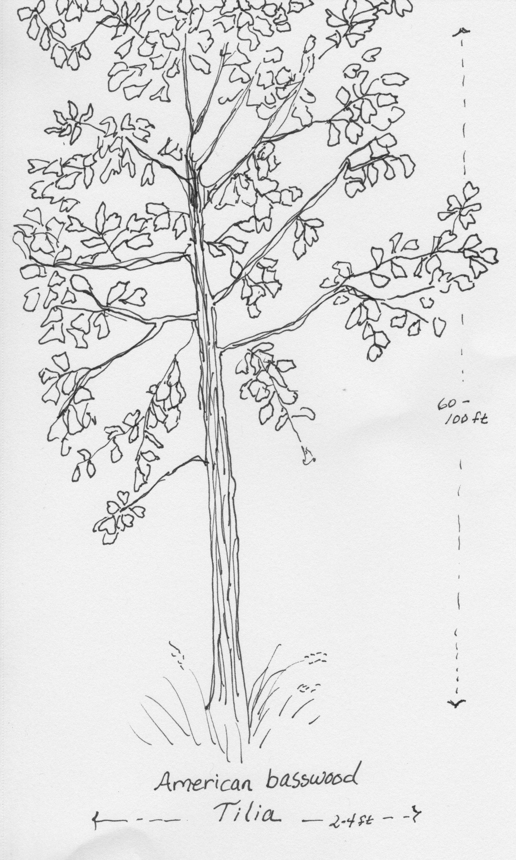 American basswood (Tilia)