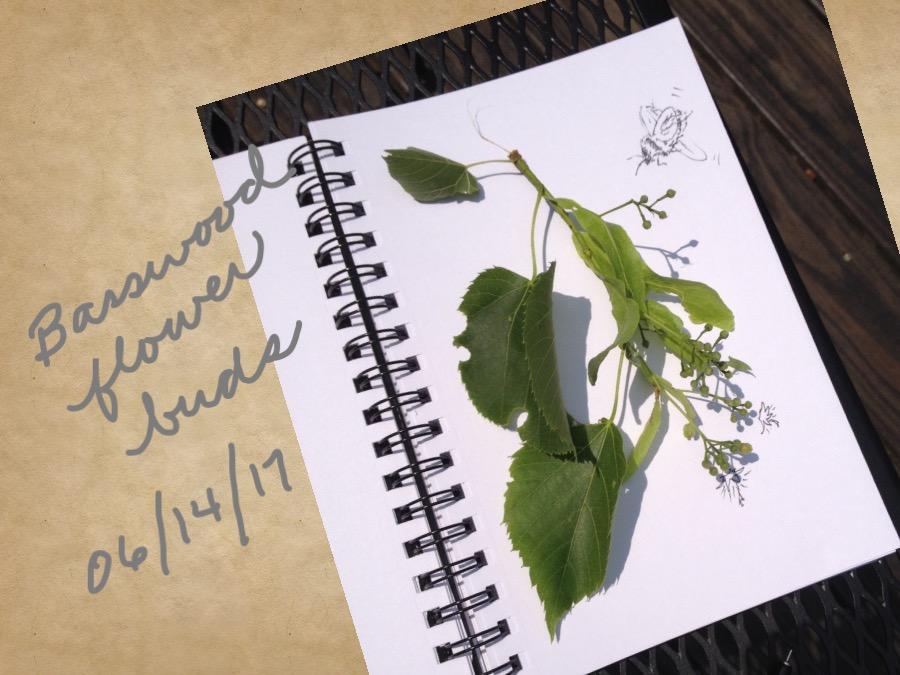 American Basswood (Tilia) flower buds