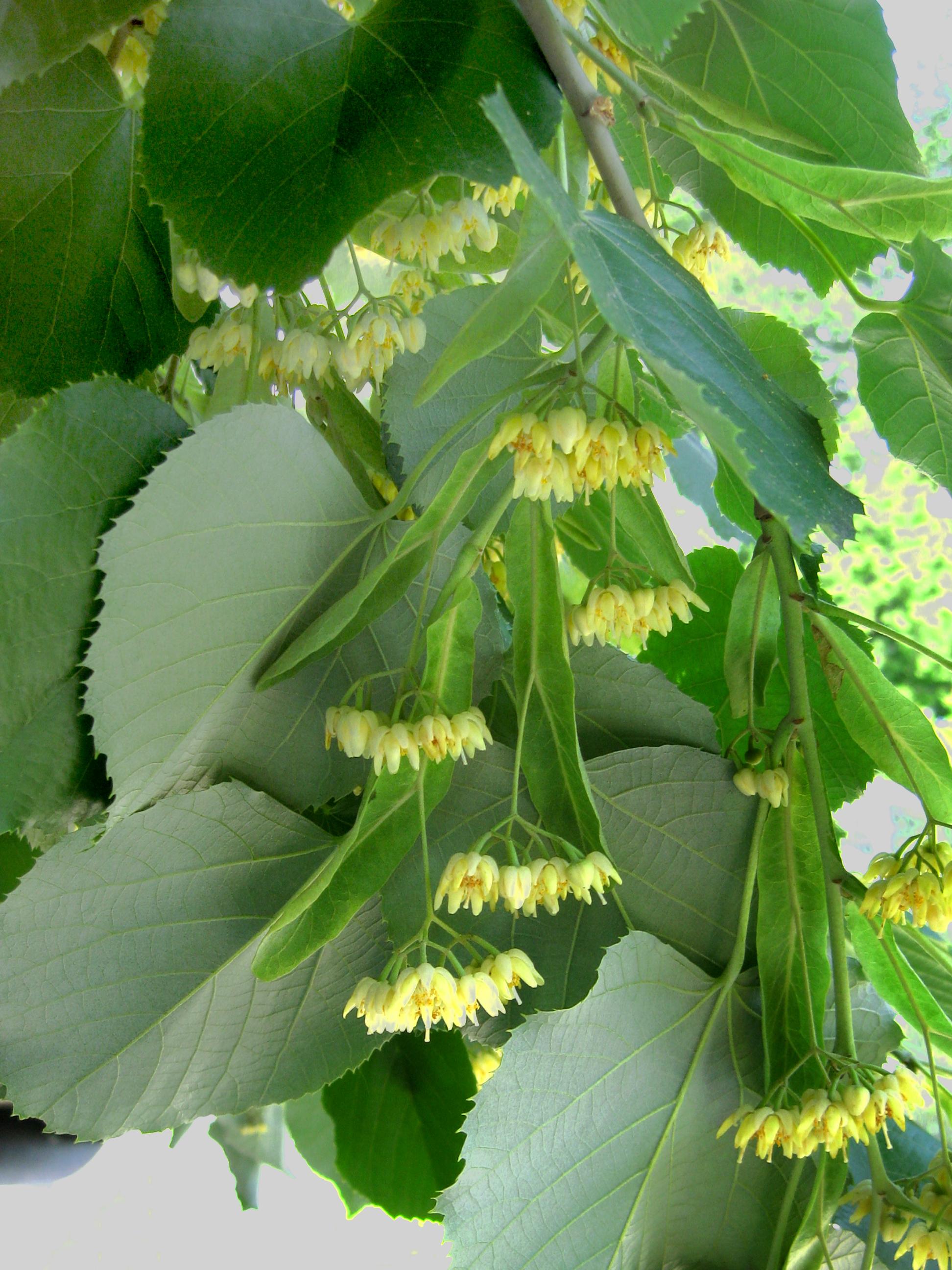 American basswood tree flowers