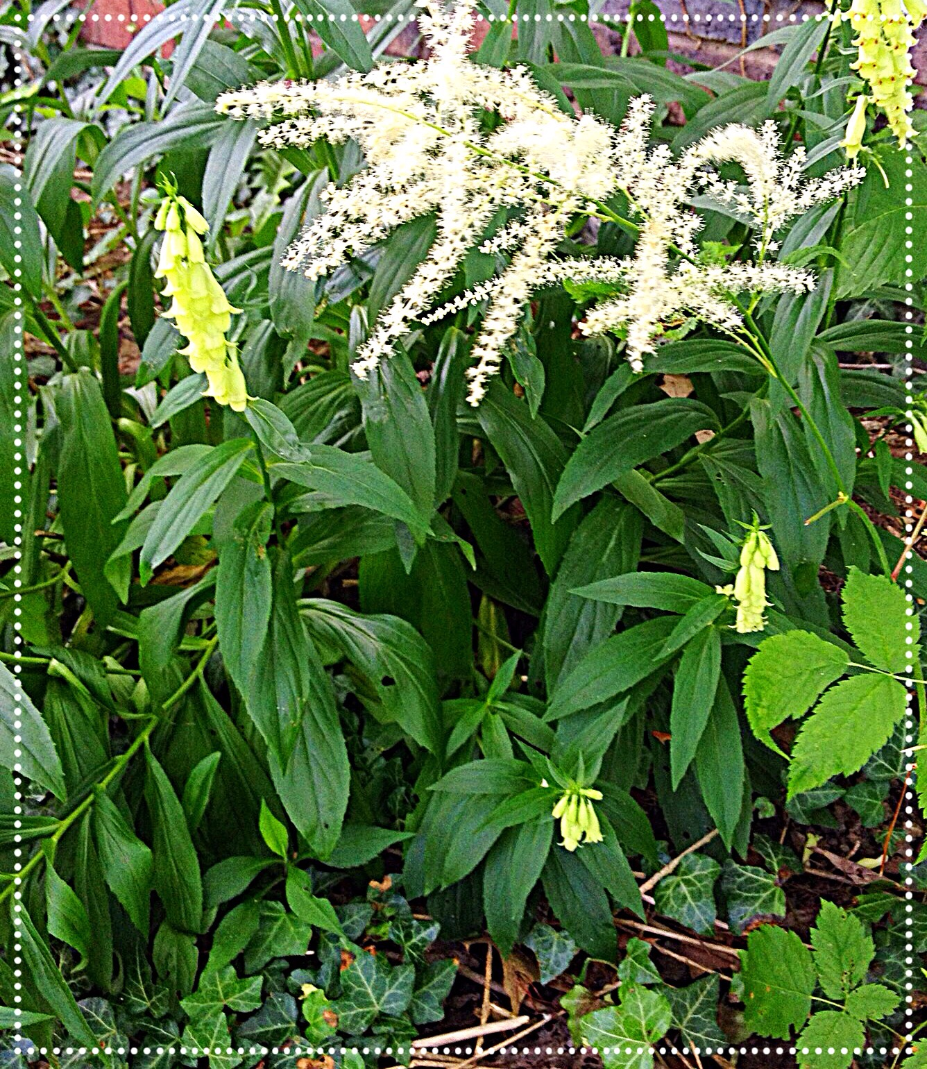 photo of Goatsbeard (Aruncus dioicus)