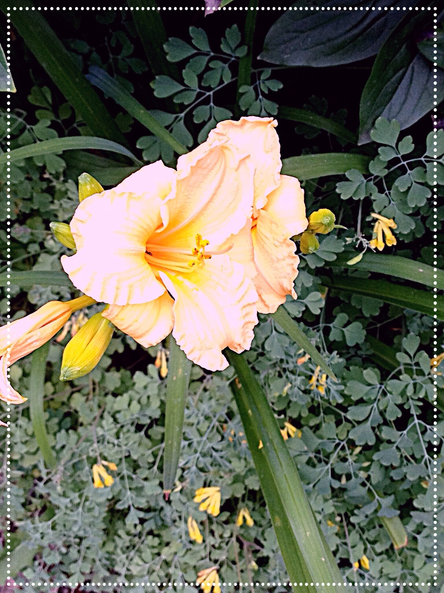 Photo of peach Daylily