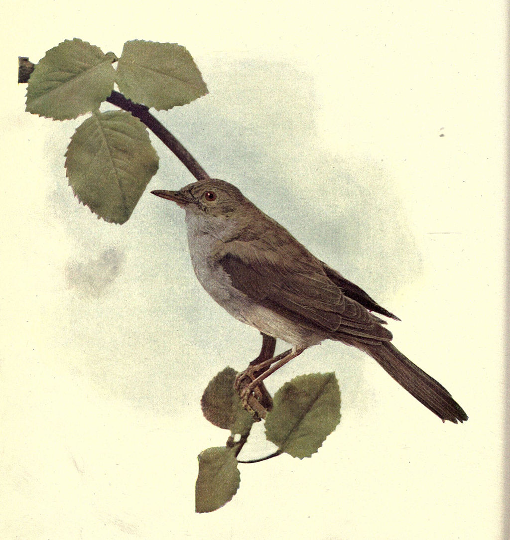 illustration of nightingale perched on tree branch