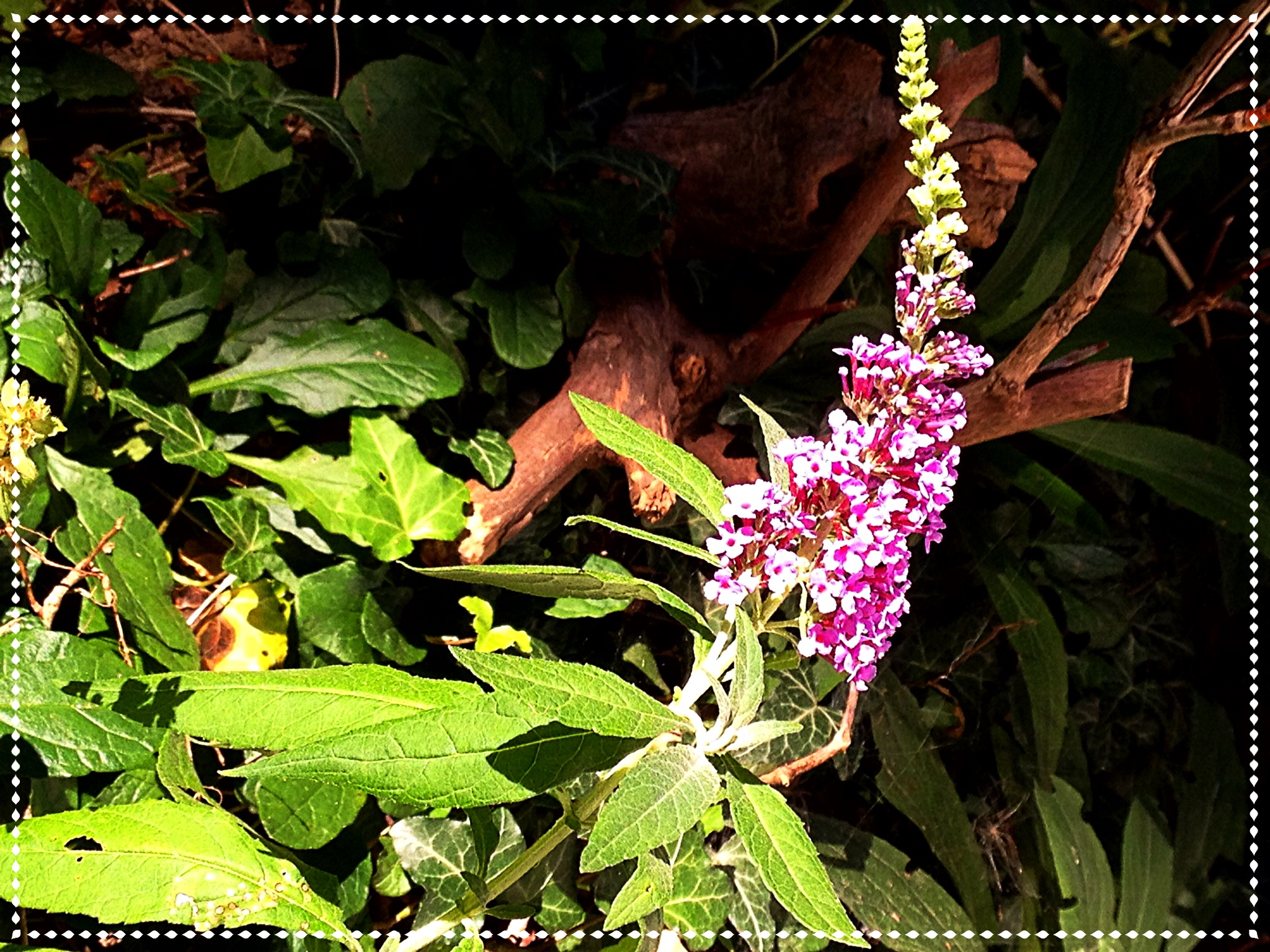 photo of lilac colored Buddleia (Butterfly bush)