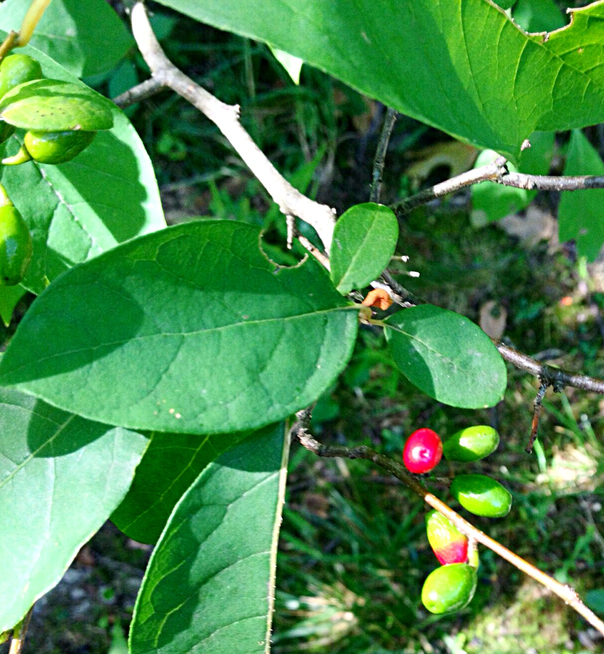 Photo of Spicebush, (Lindera benzoin)
