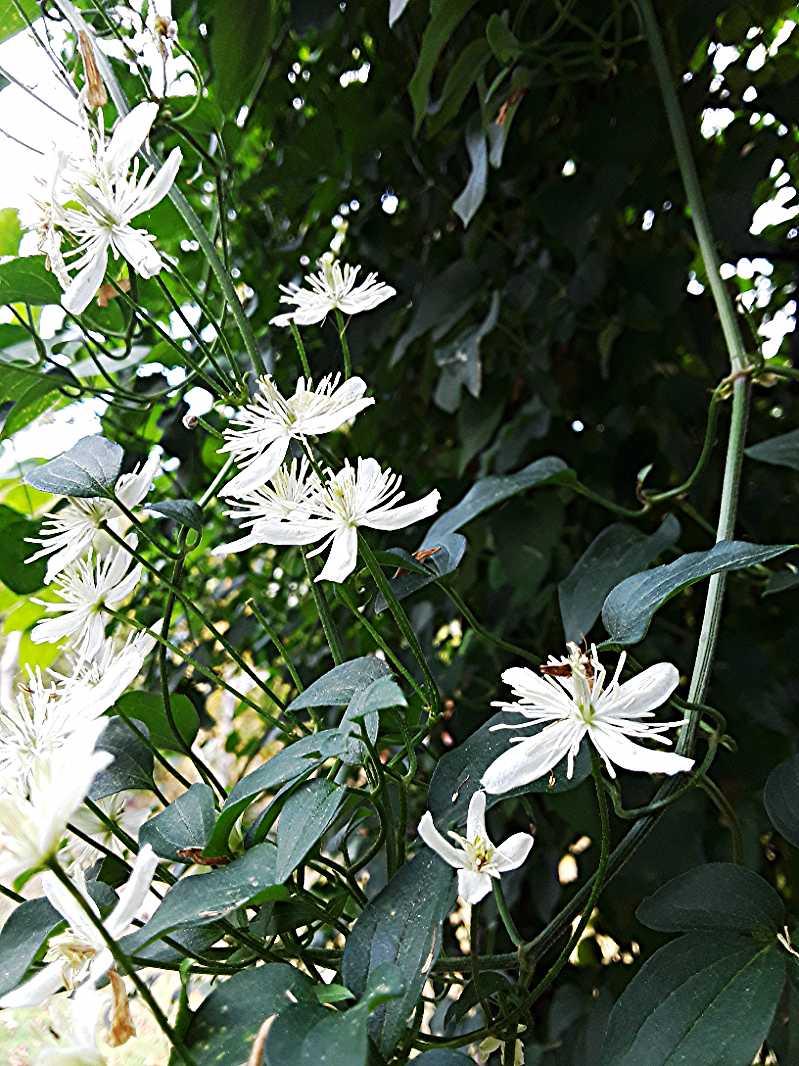 Autumn blooming clematis (Clematis paniculata)