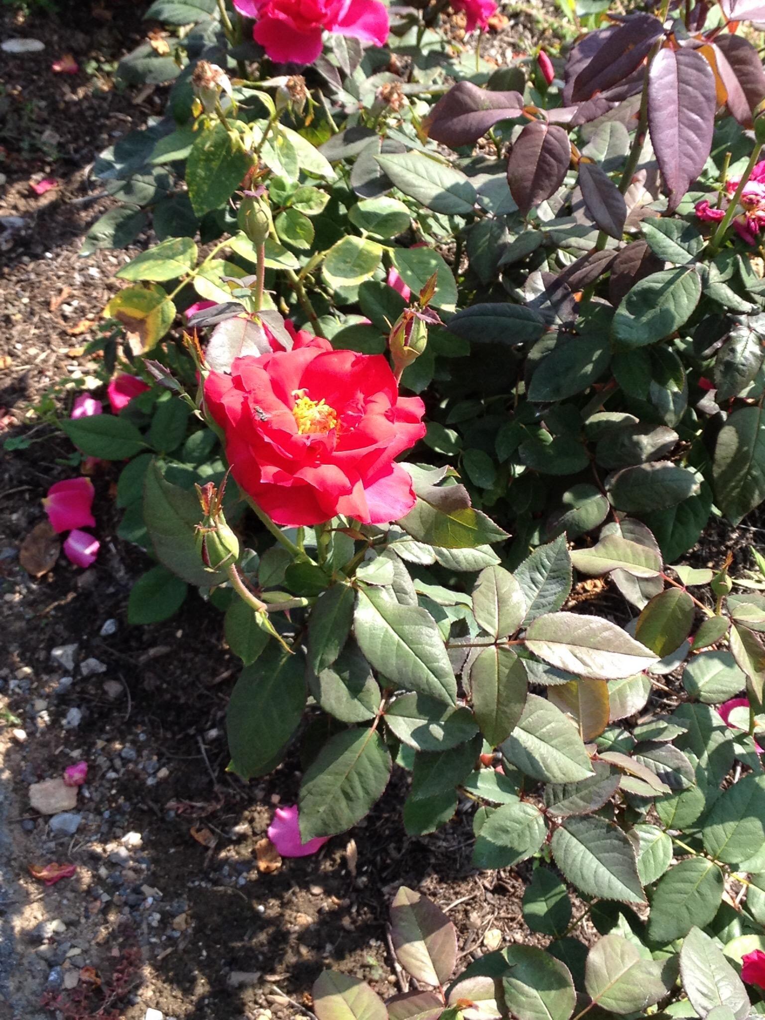 """Rose """"M.S. Hershey"""""""