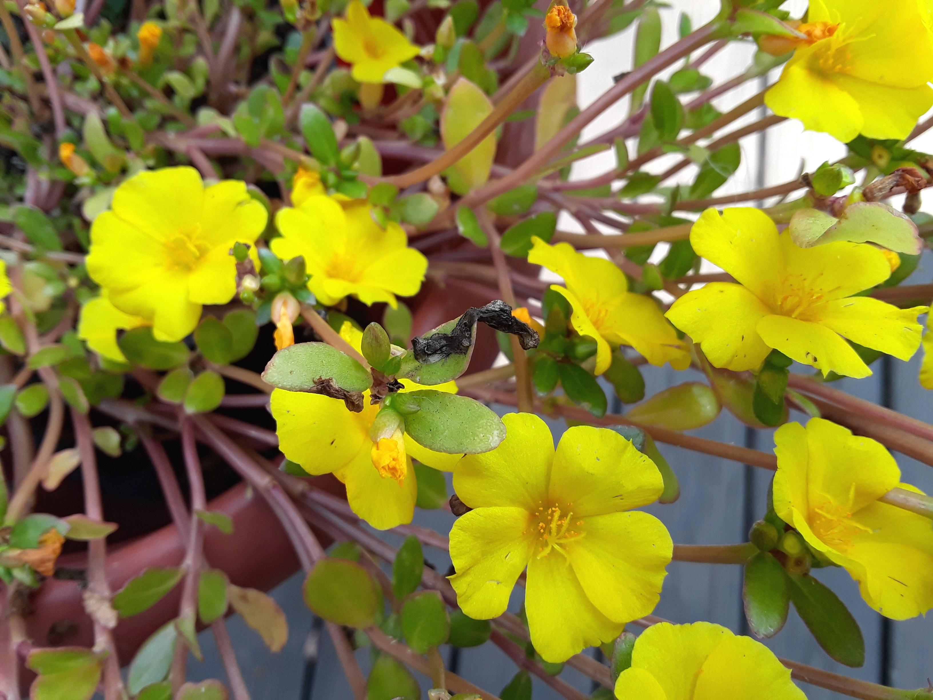 portulaca grandiflora Mojave Yellow