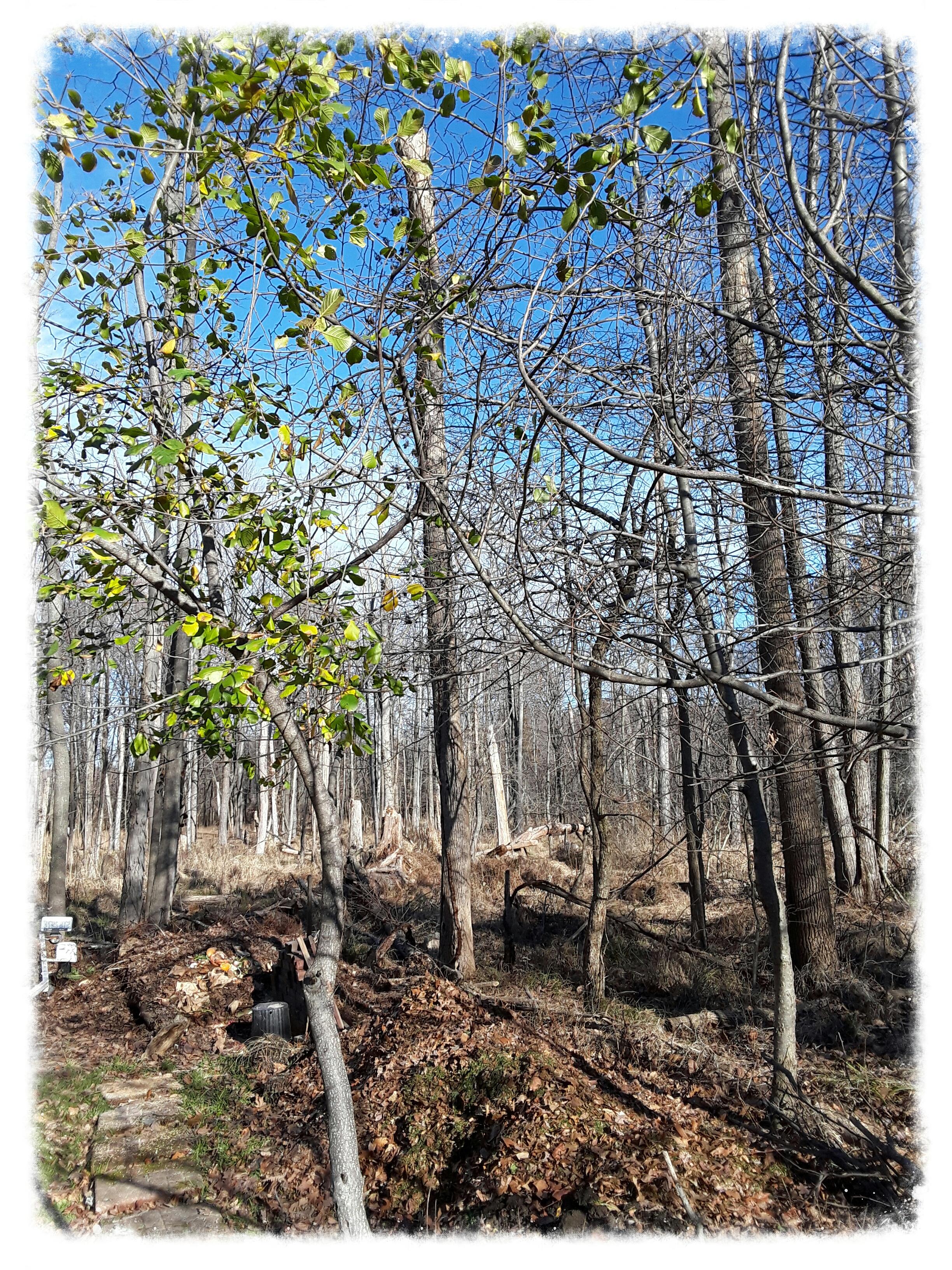 Buckthorn leaves still green in December