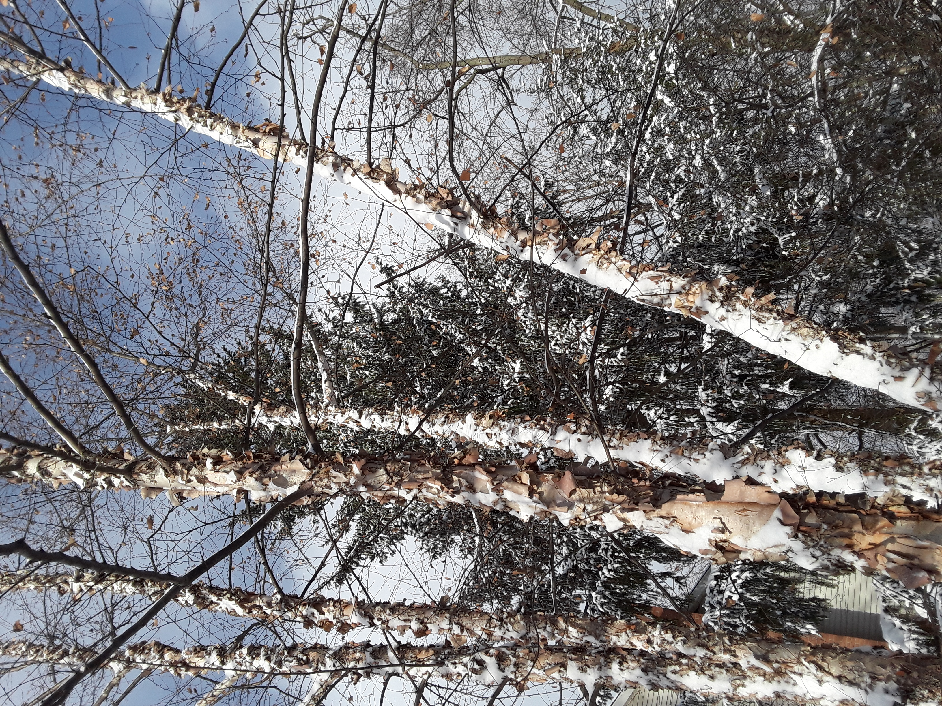 river birch and spruce against a blue winter sky