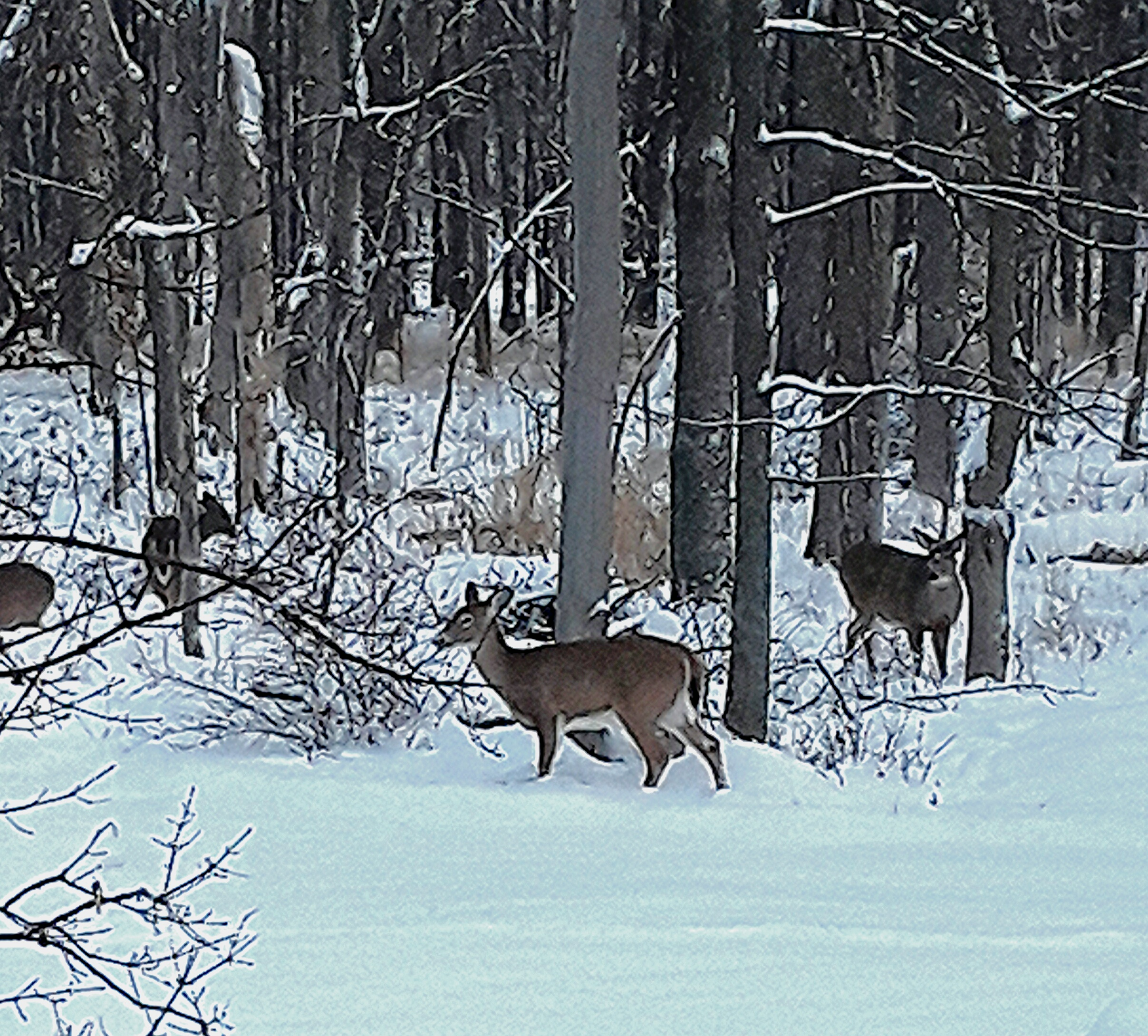 Four browsing white-tailed deer