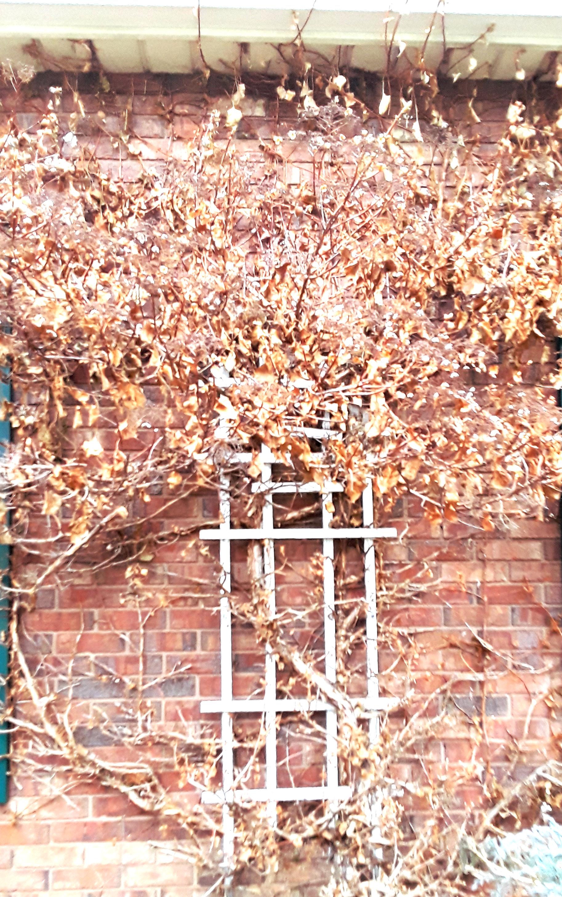 Vine of climbing hydrangea hugs the white trellis