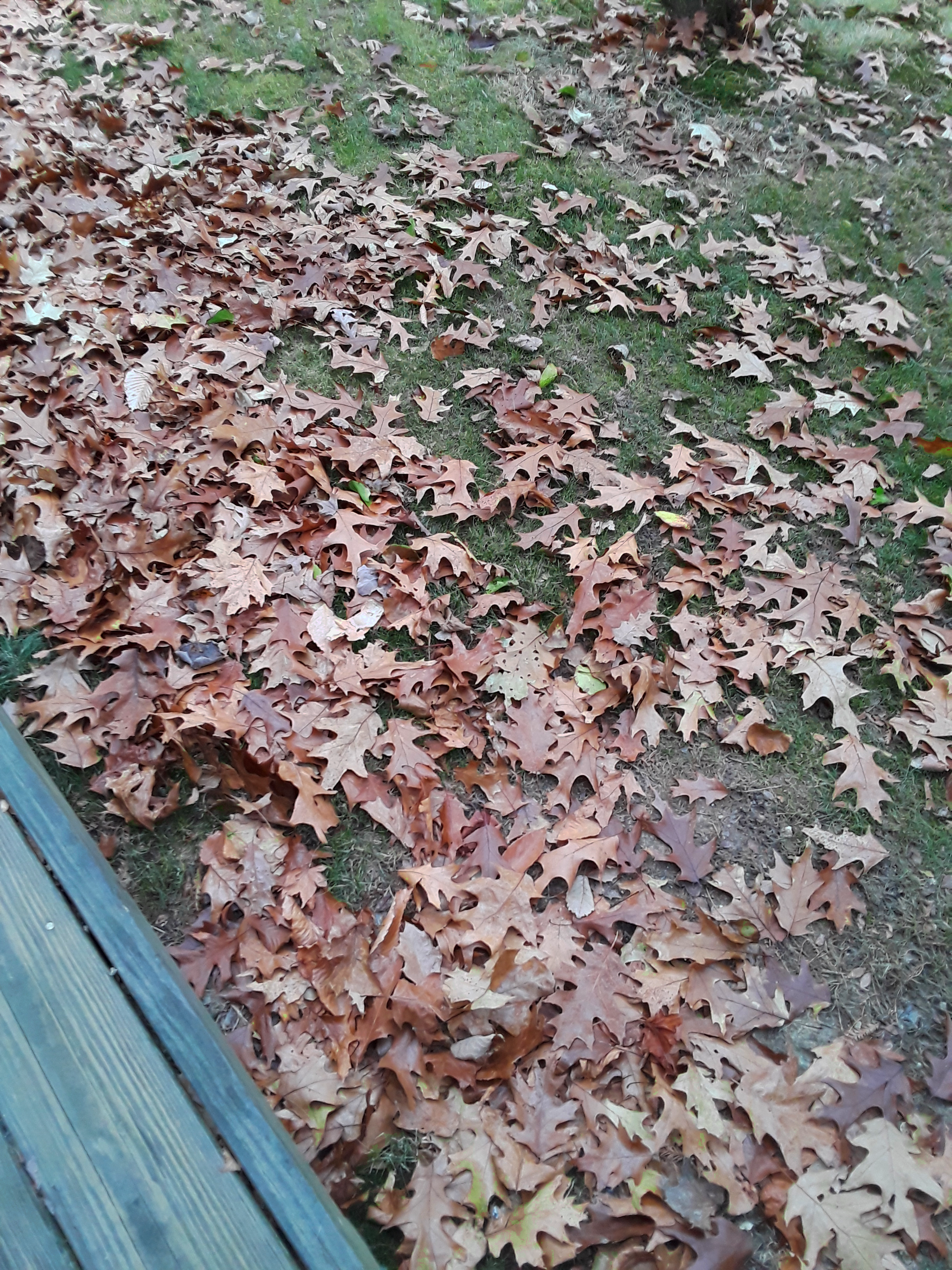 fallen oak leaves cover the ground