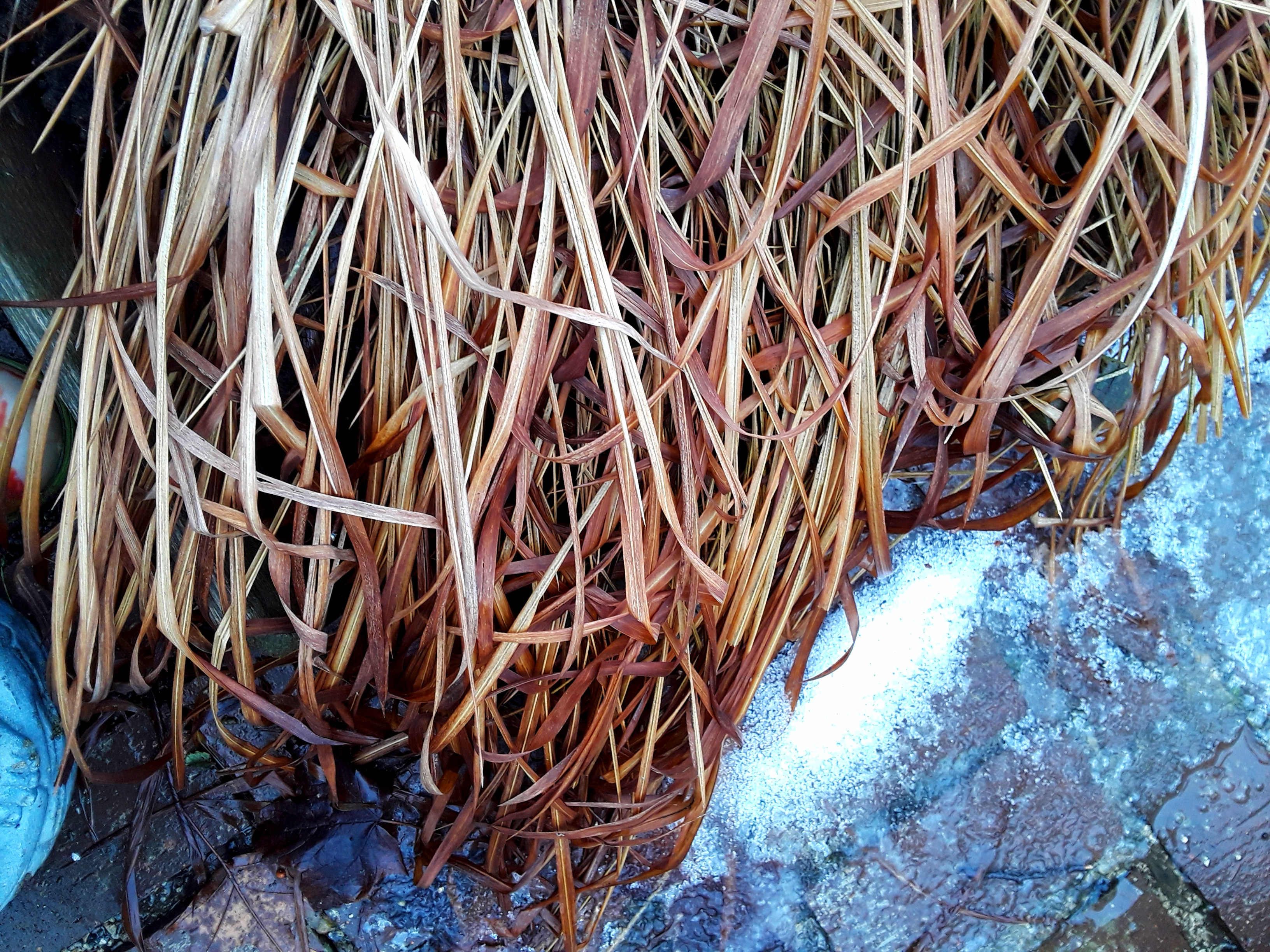 dead blood grass foliage still looks pretty against snow and ice