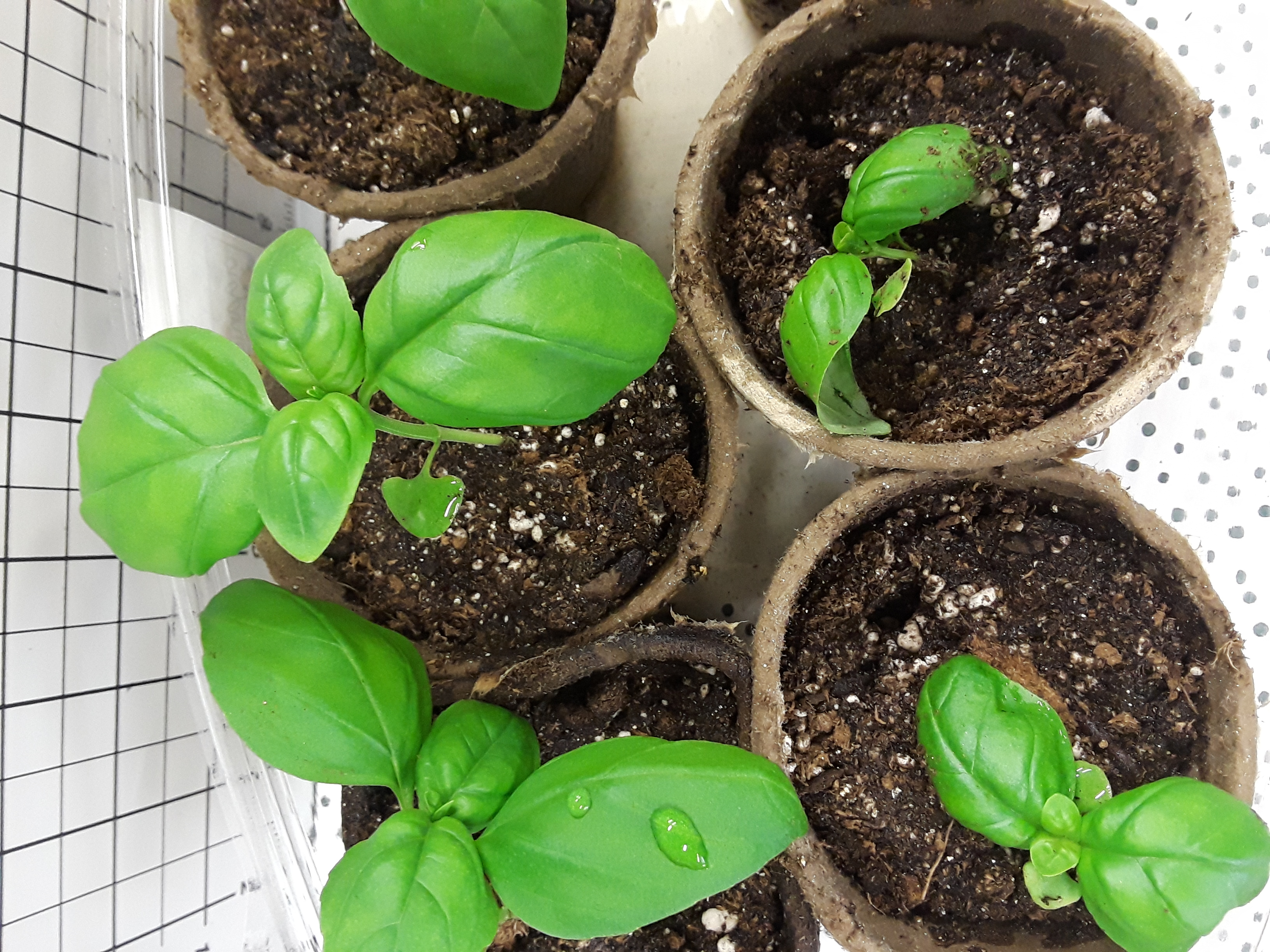 Basil plants at 3 weeks are getting broad leaves and are ready to move to bigger pots