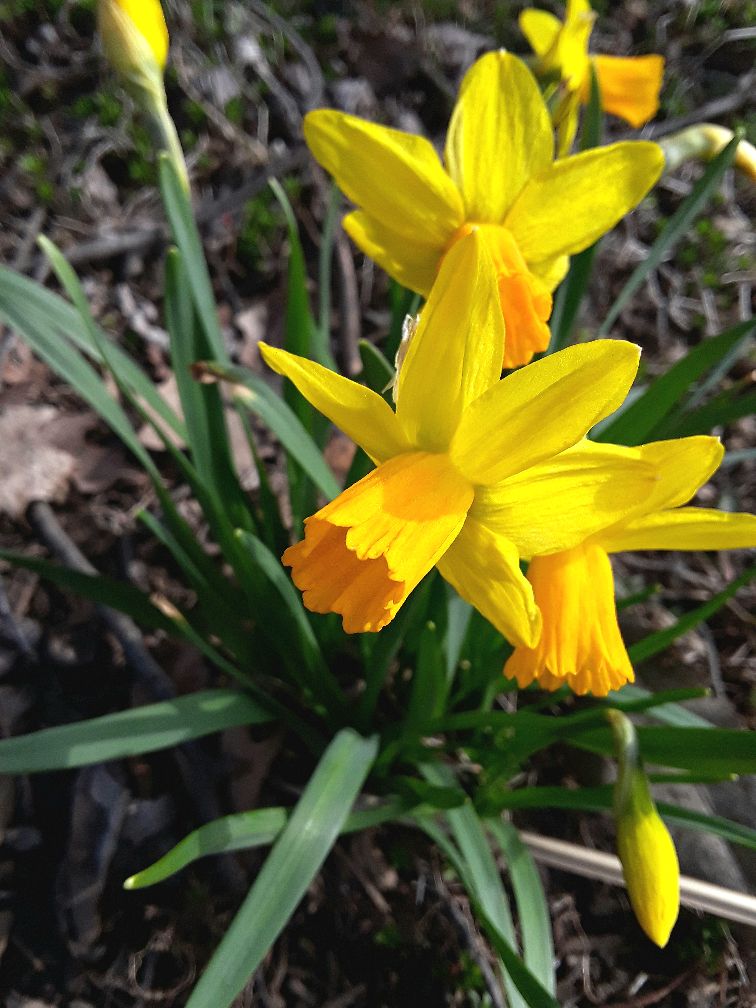the miniature narcissus Tete a tete is one of the first to flower