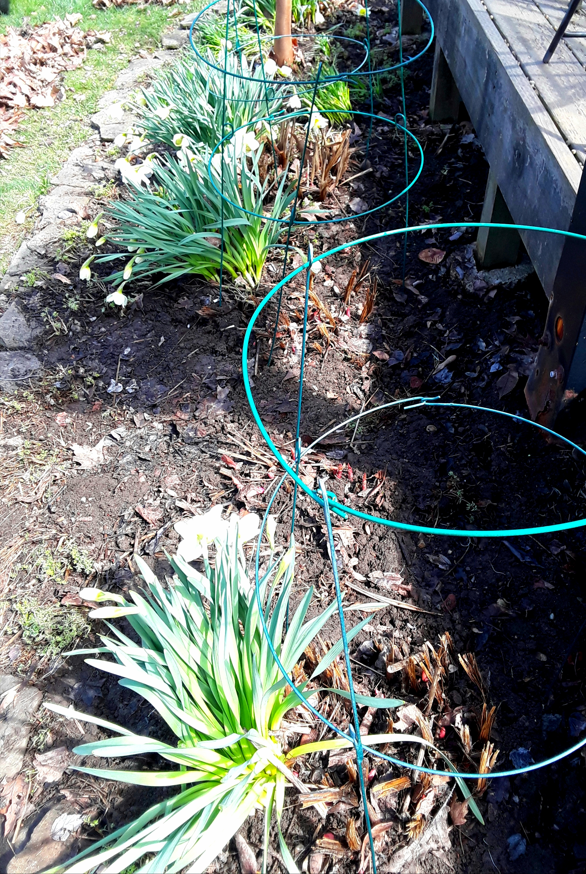 flower beds are raked out in April. Peony growth is just beginning to sprout through the soil.