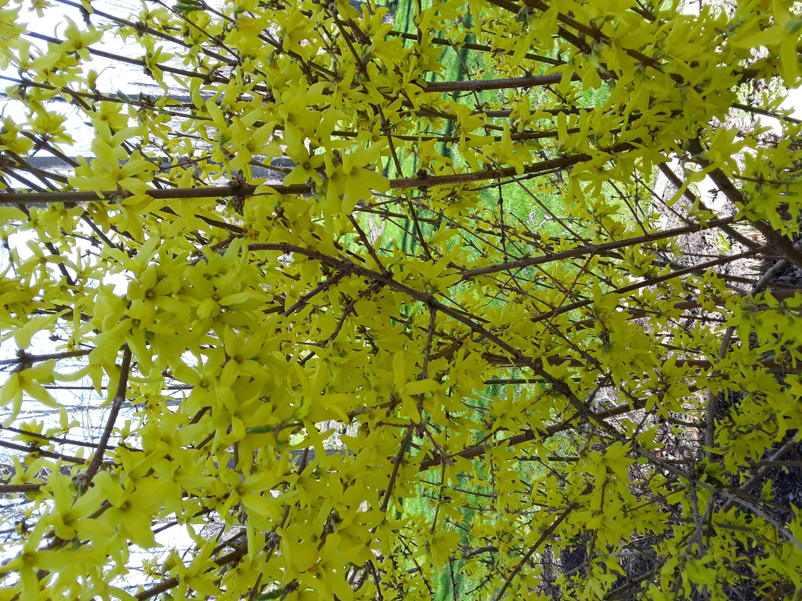 forsythia bush with heavy yellow bloom