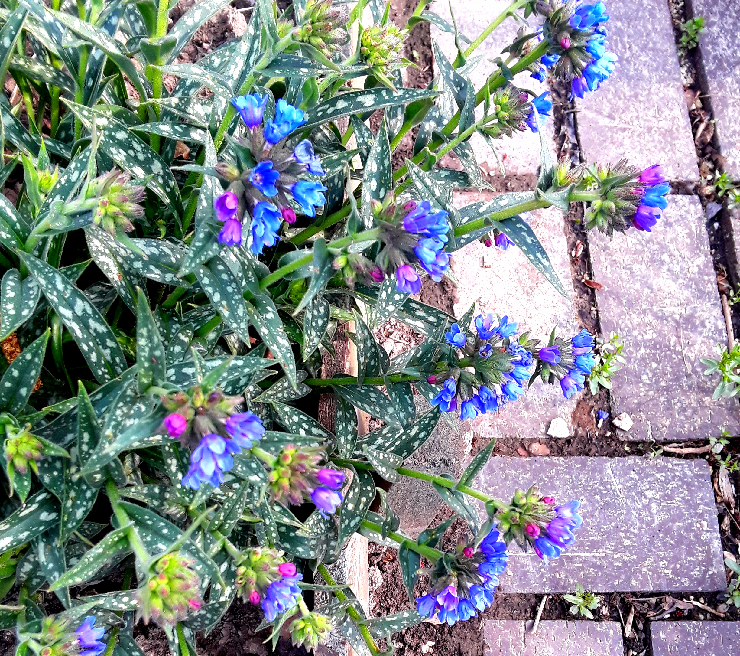 Pulmonaria has spotted light and dark green foliage and true blue flowers