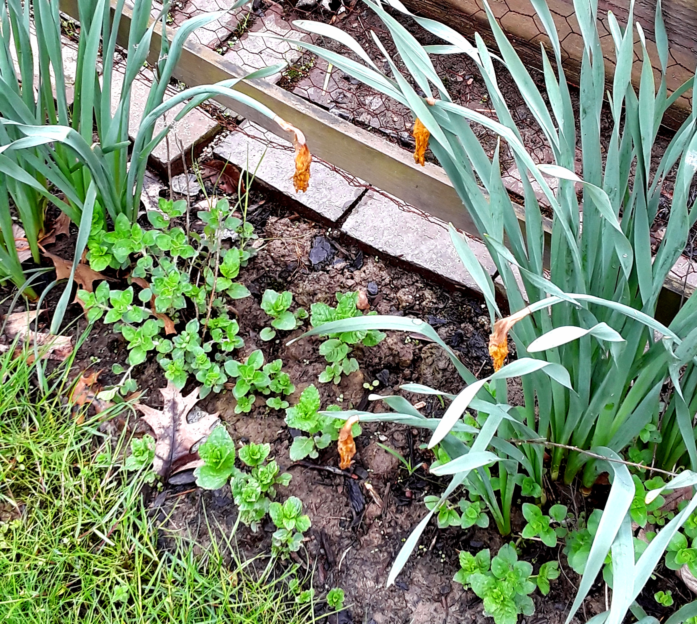 Oregano and mint growing outside the fence