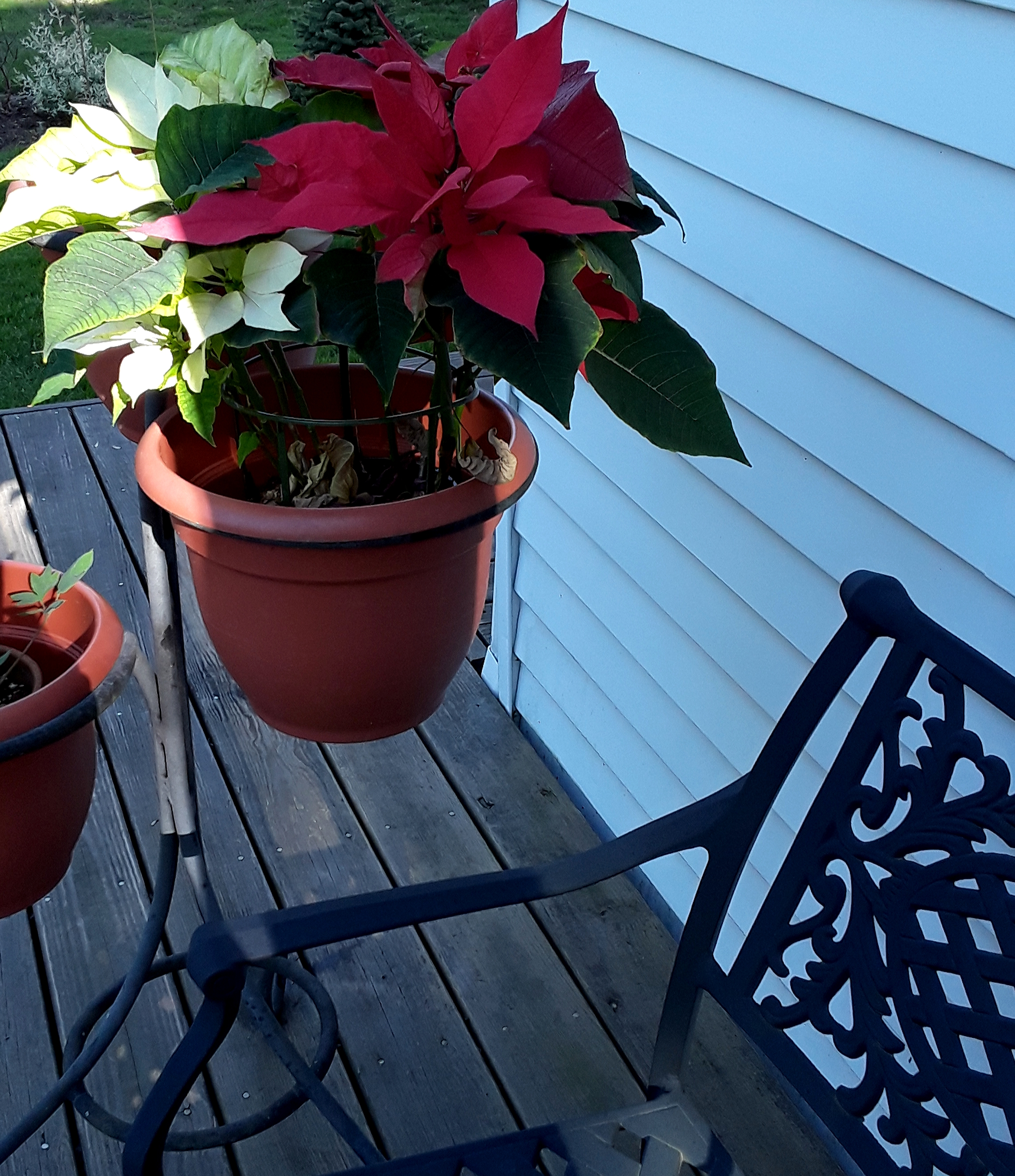 Red and white poinsettia bloom outdoors in May.