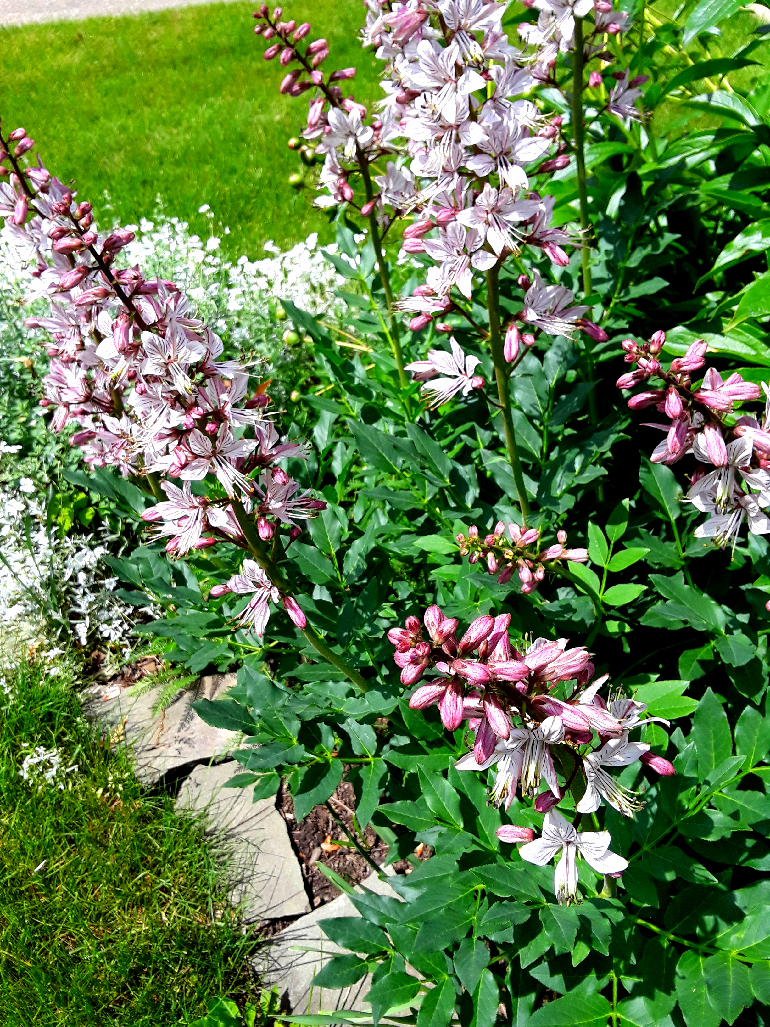 The flowers of Dictamnus albus (Peruvian lily) are pink and white