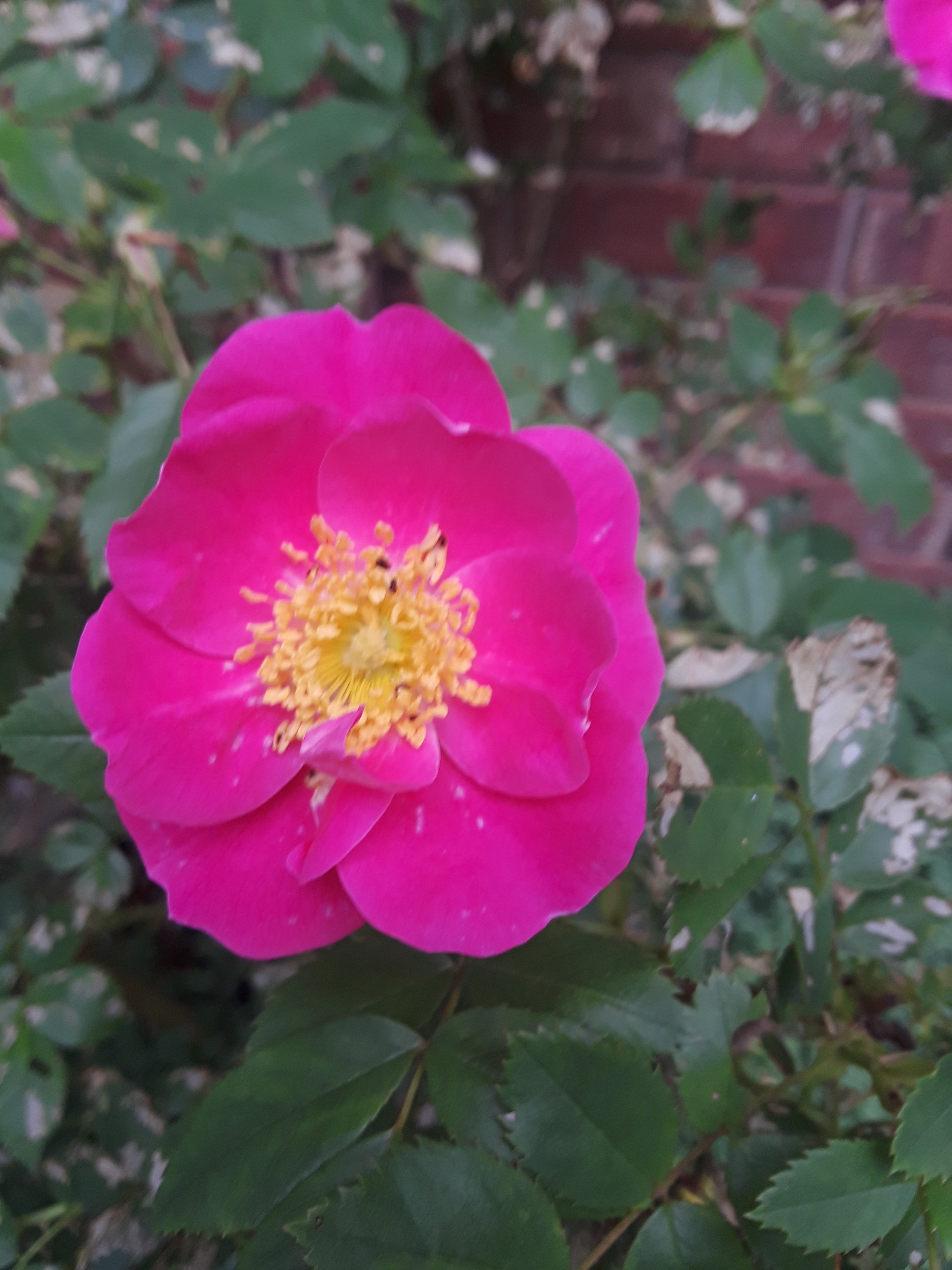 William Baffin climbing rose is a bright pink with yellow stamen