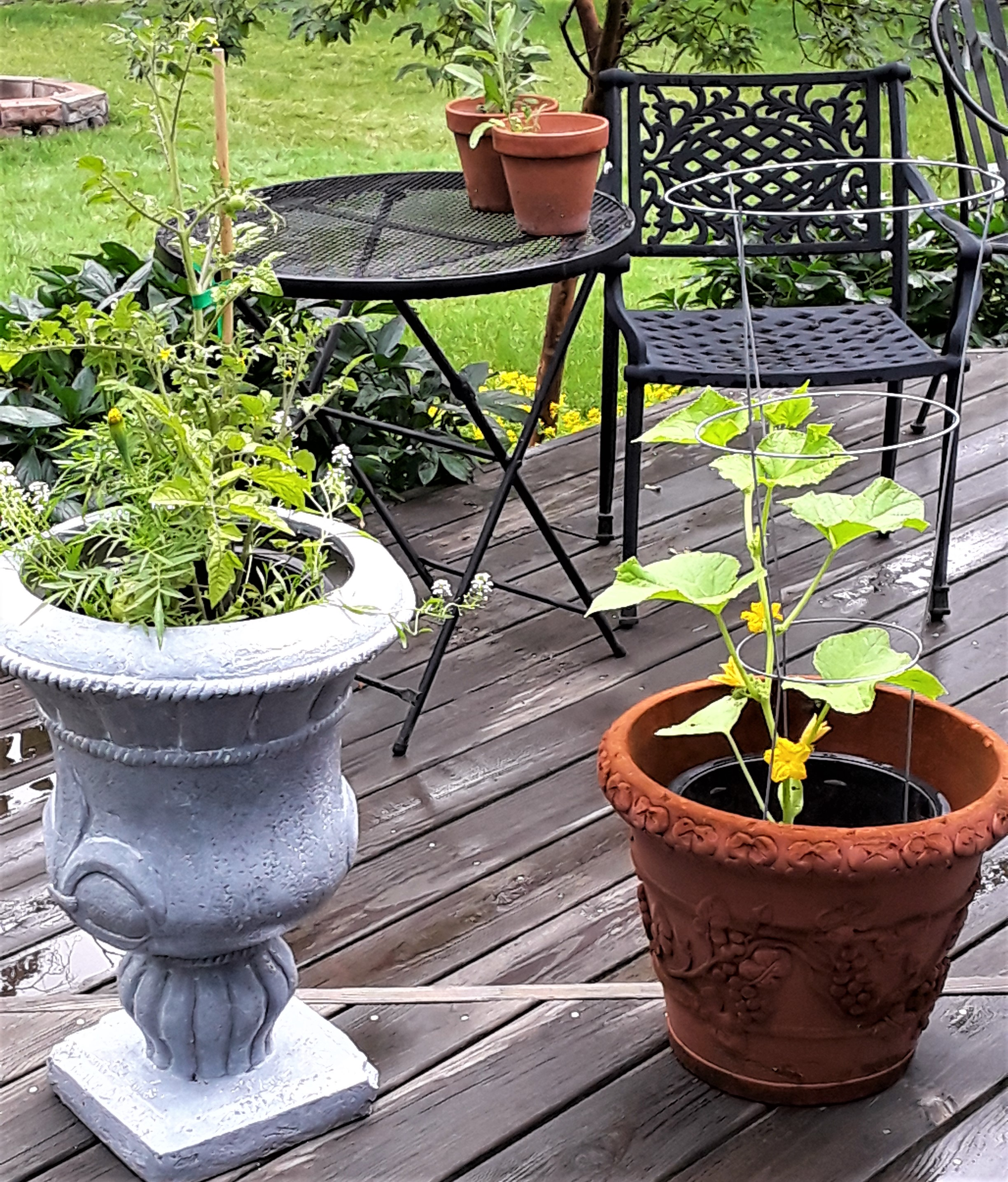 tomato plant and cucumber plant grow in pots on the deck