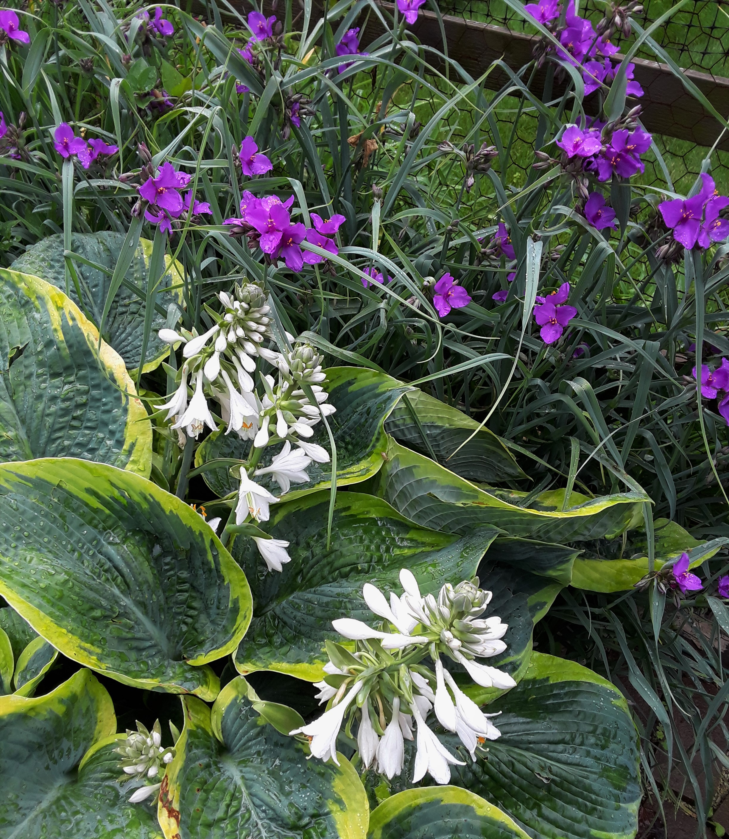 white flowers of hosta and purple flowers of tradescantia