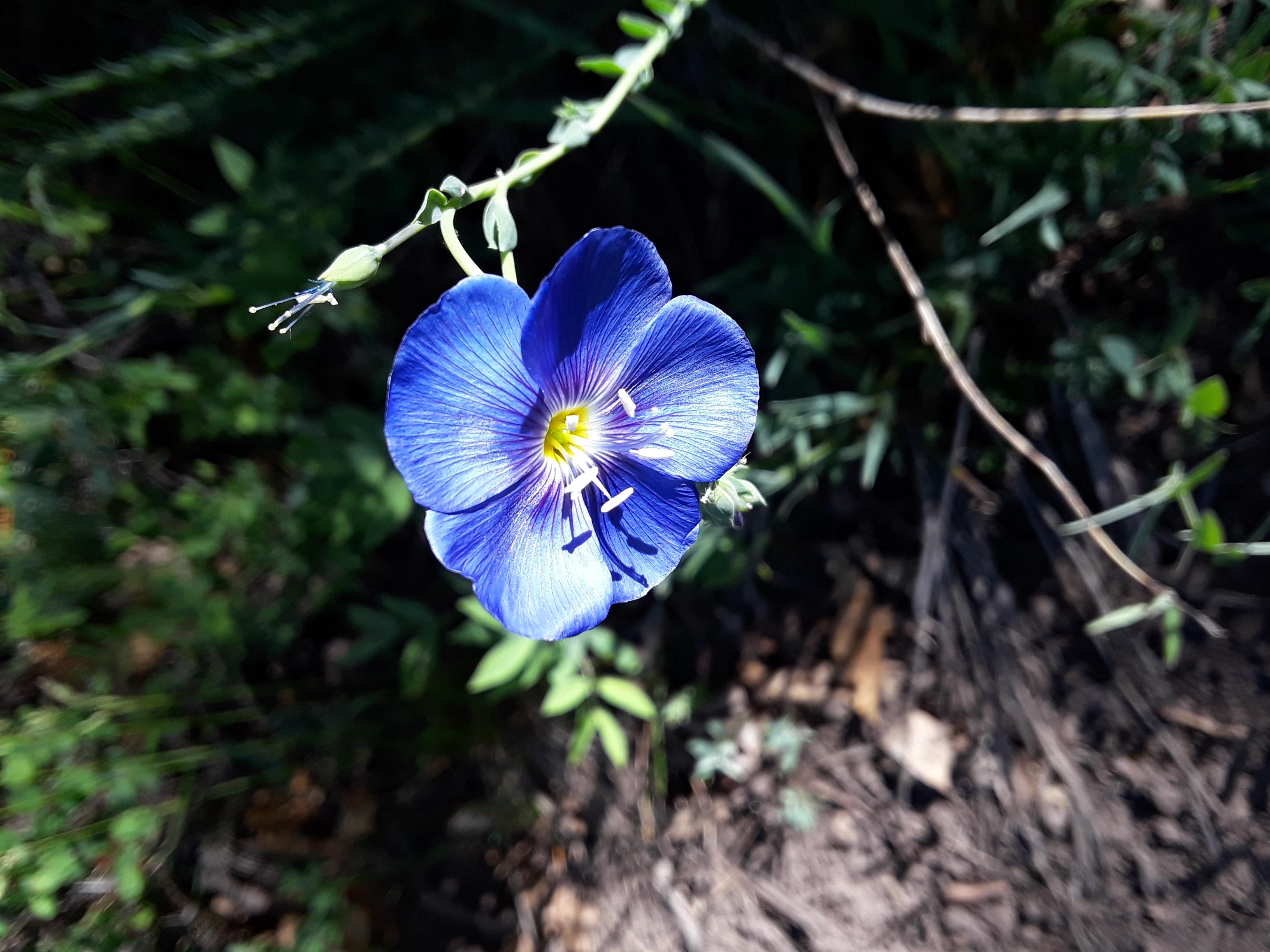 Flax flower has five bright blue petals