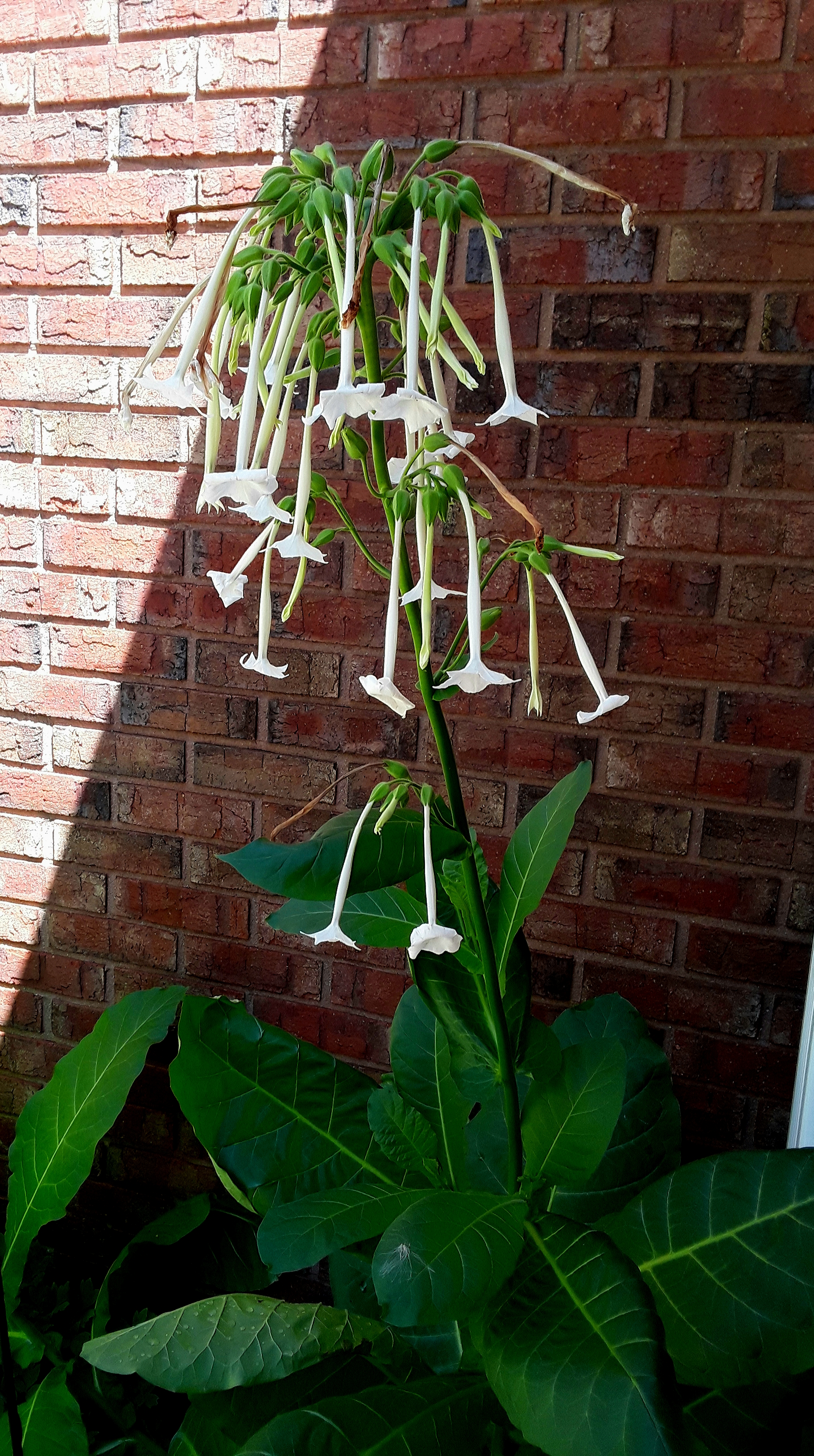 Tobacco flower is a large annual, as annuals grow, sometimes reaching 5 feet