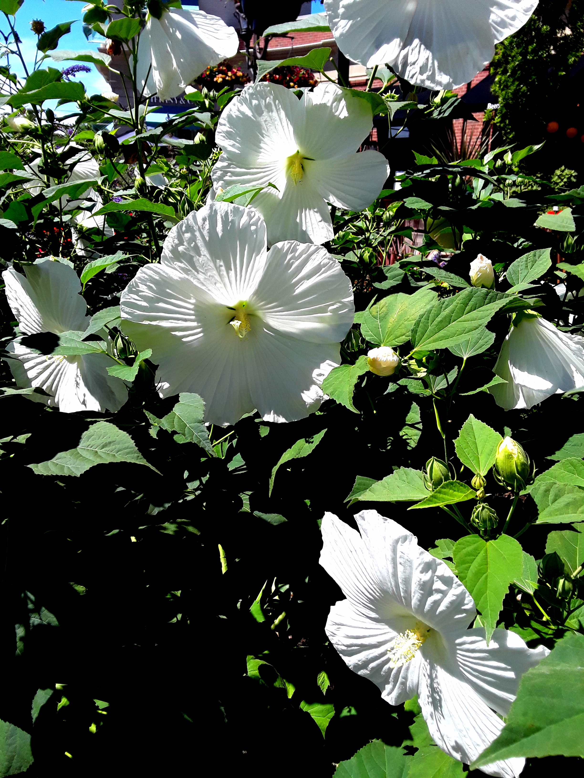 Giant white hibiscus flowers shine sunlight