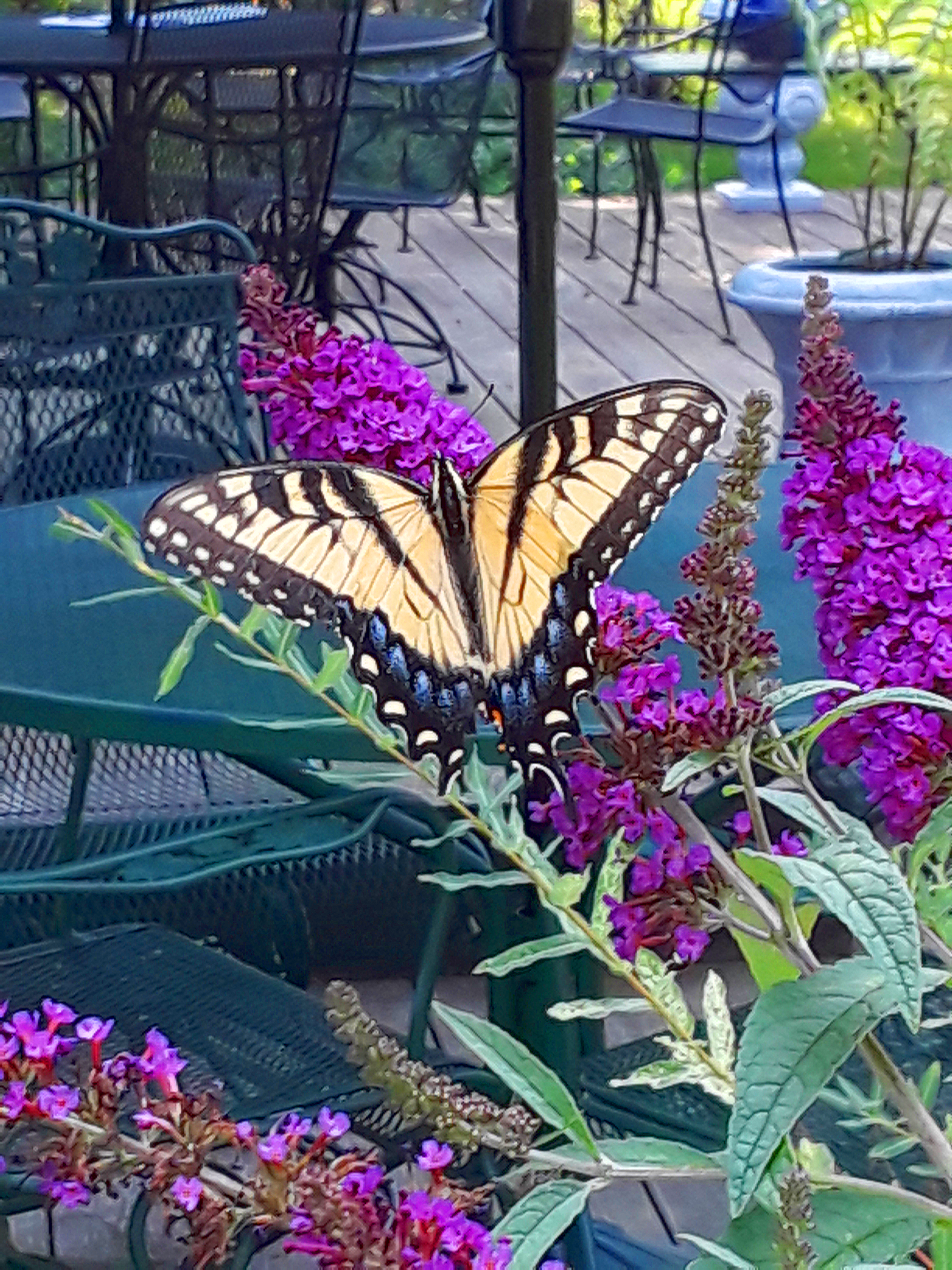 a magenta butterfly bush attracts a yellow swallowtail butterfly