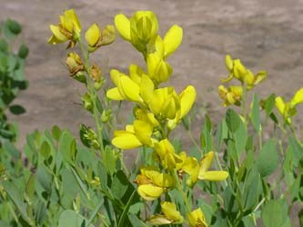 This baptisia cultivar is yellow. Others are purple.