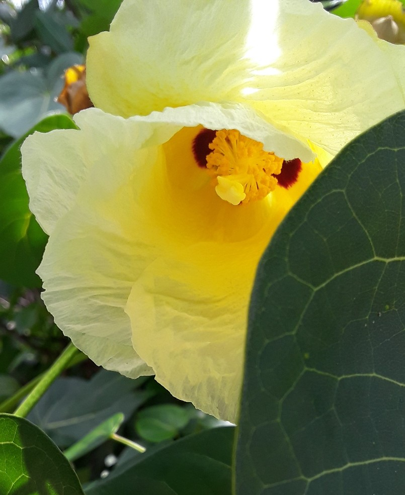 A yellow hibiscus in bloom