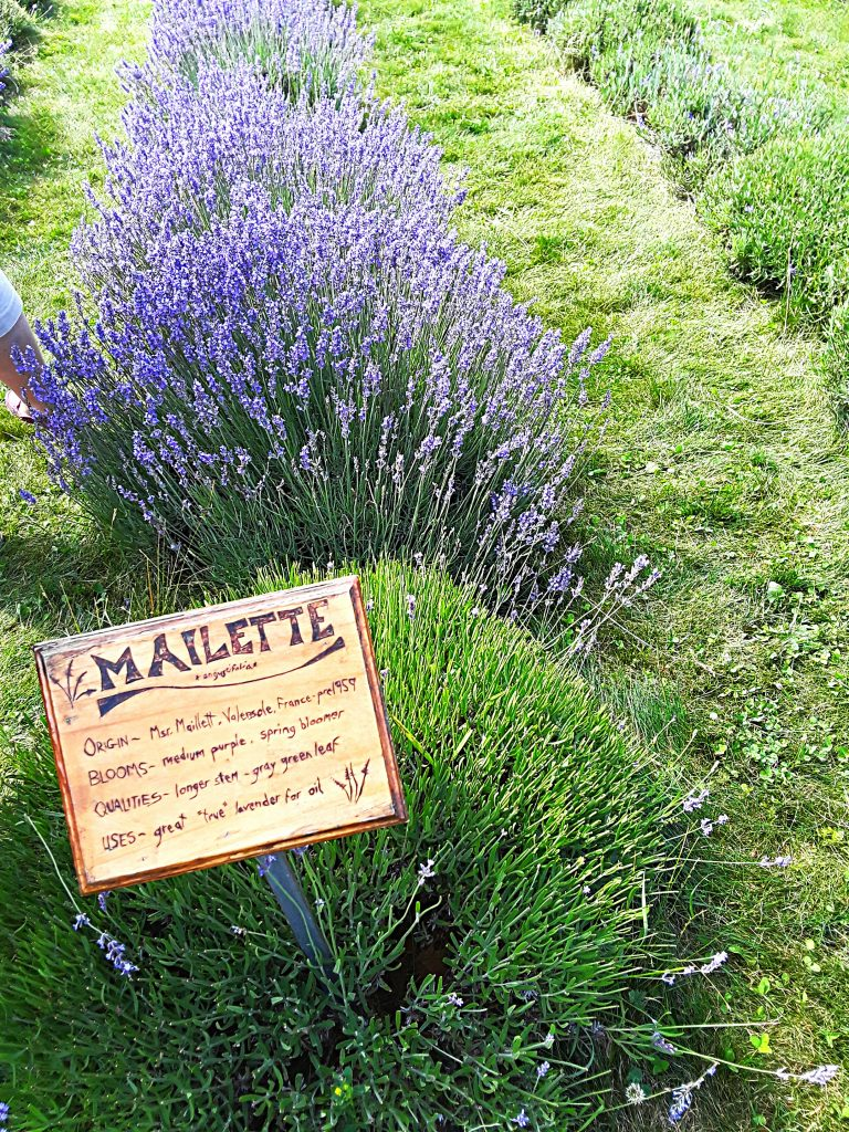 """Mailette' is a compact lavender pl.ant with intense blue flowers"