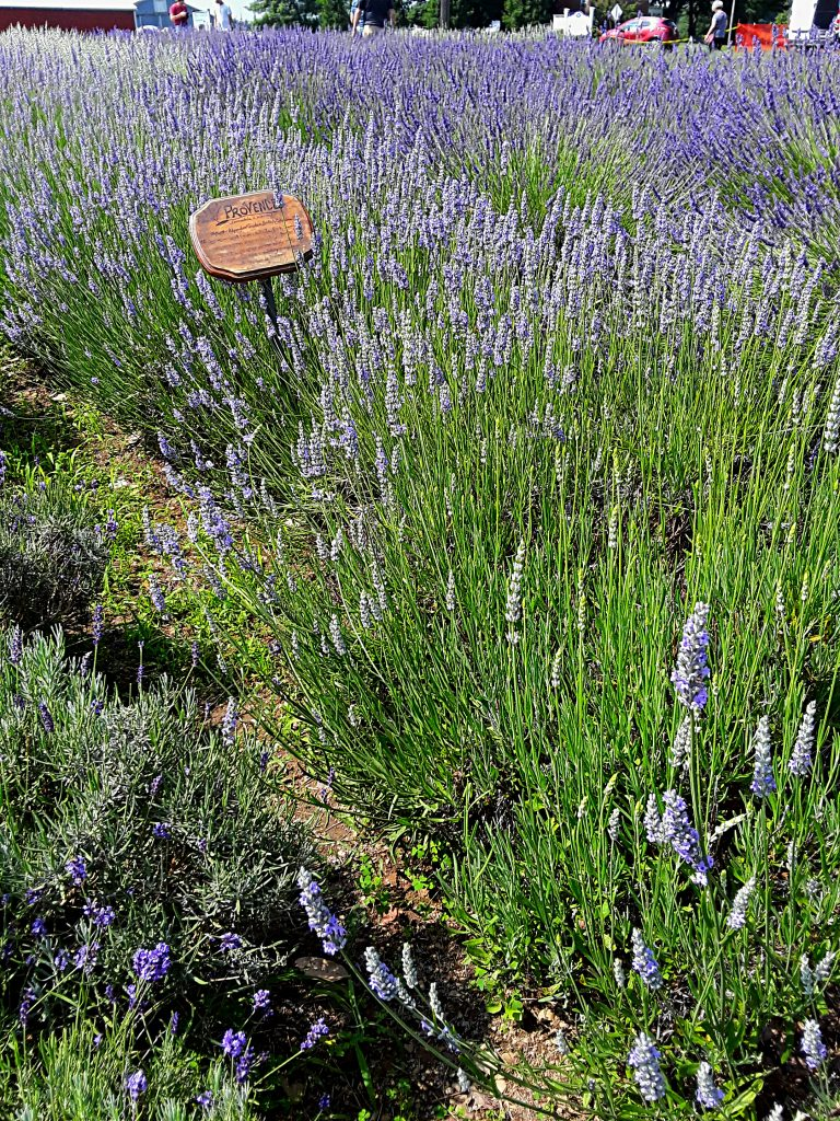 a row of lavender 'Provence' grows between darker purple varieties