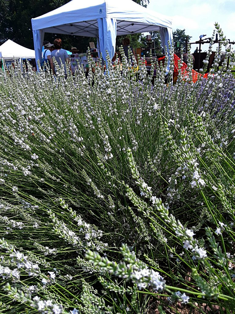 Lavender plants surround tents set up at Luvin Lavender Farms Lavender Festival.