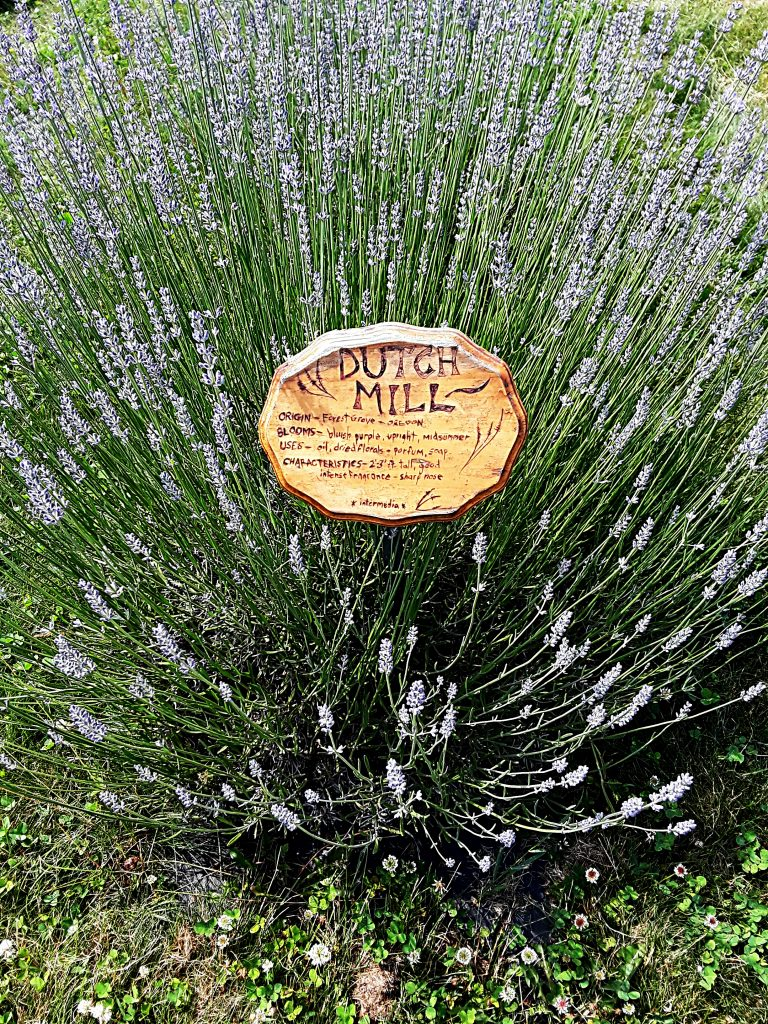 """Dutch Mill"" lavender has lots of tall, light purple spikes."