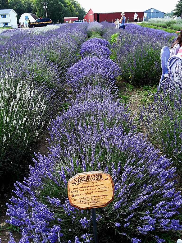 """Buena Vista"" is a compact and vigorous growing lavender"