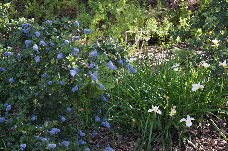 Ceanothus 'Bamico' and Iris 'Canyon Snow' are native California wildflowers that dot the landscape in blue and white