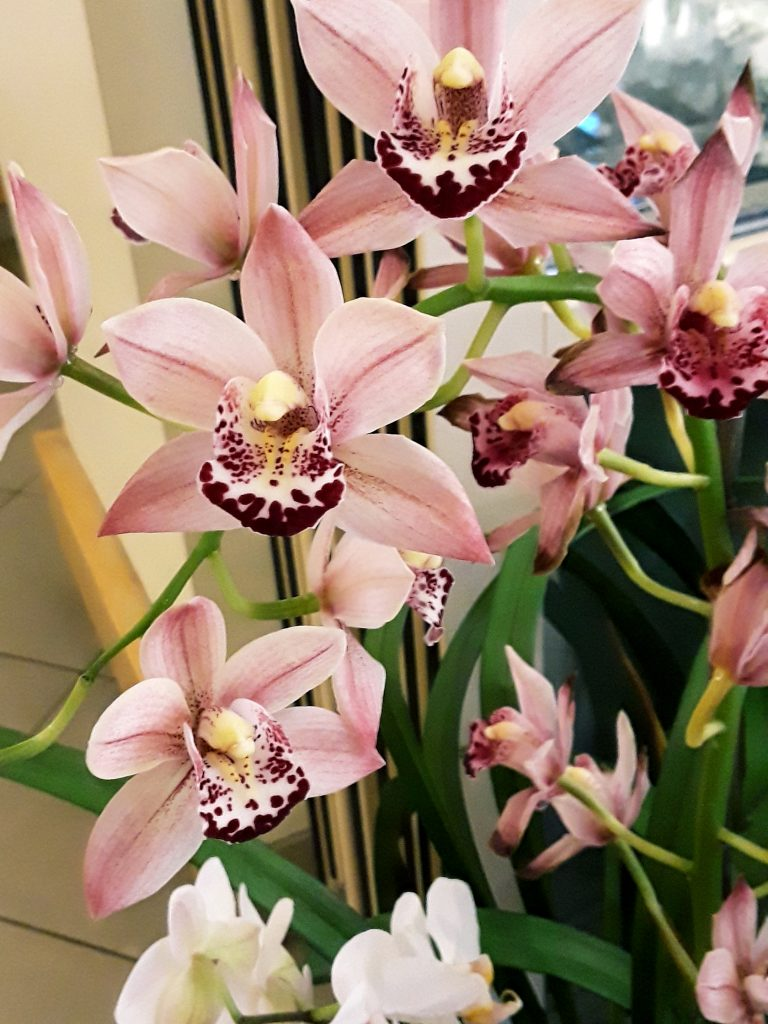 pink orchids bloom prolifically