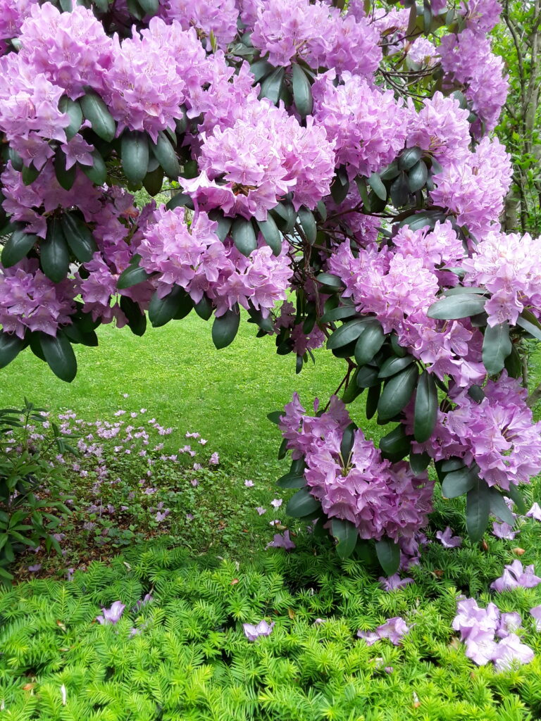 A rhododendron blooms profusely with lavender colored blossoms.
