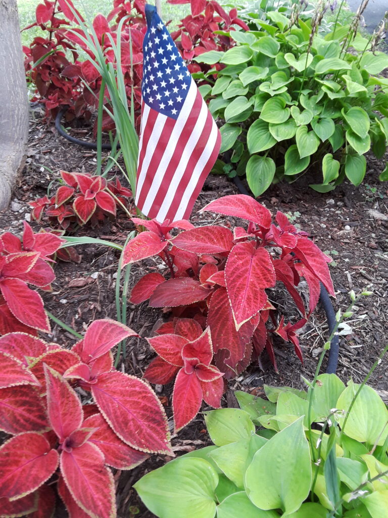 red coleus and healthy clumps of hosta in a garden bed