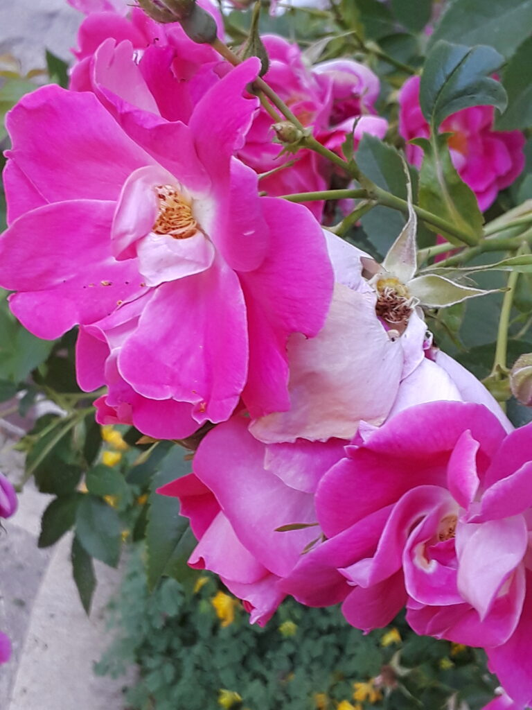 hot pink blooms on a rose bush
