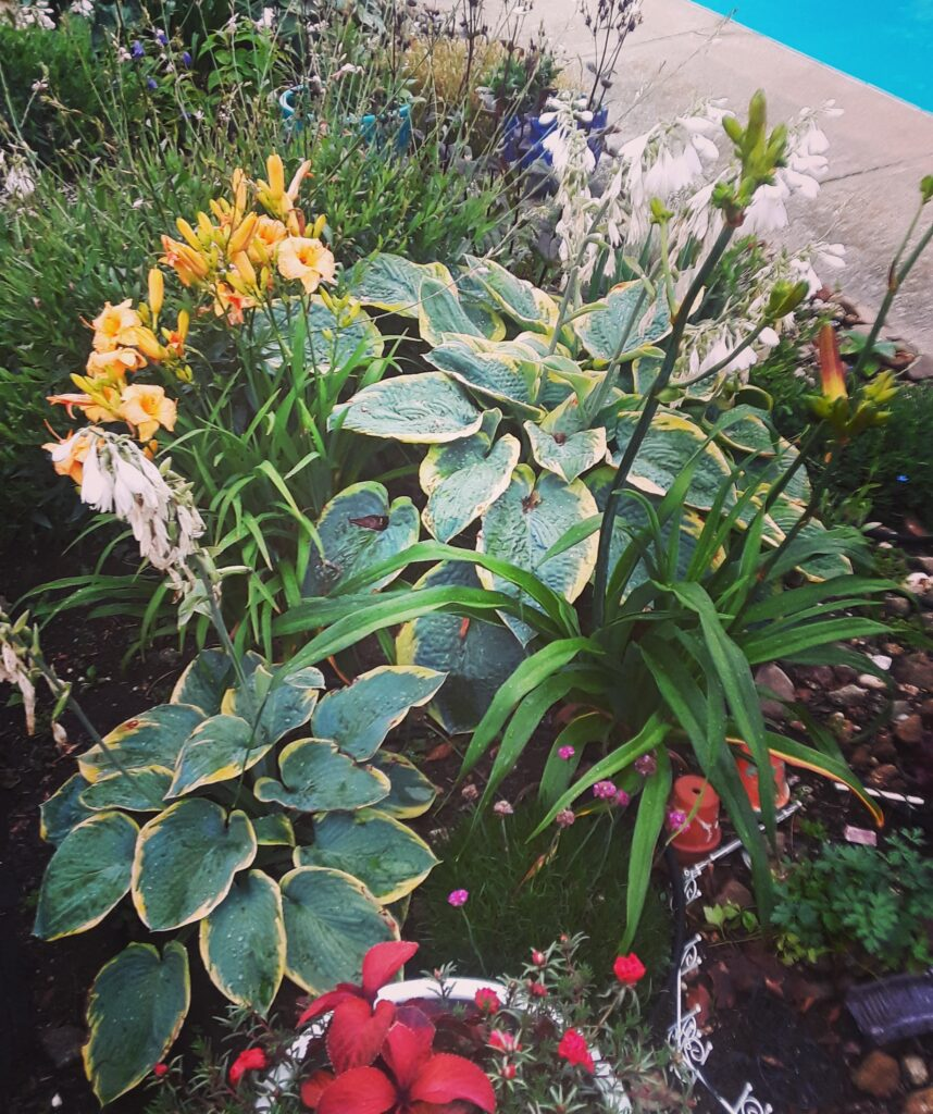 'Francis Williams' hosta and yellow daylillies dominate one section of the pool garden
