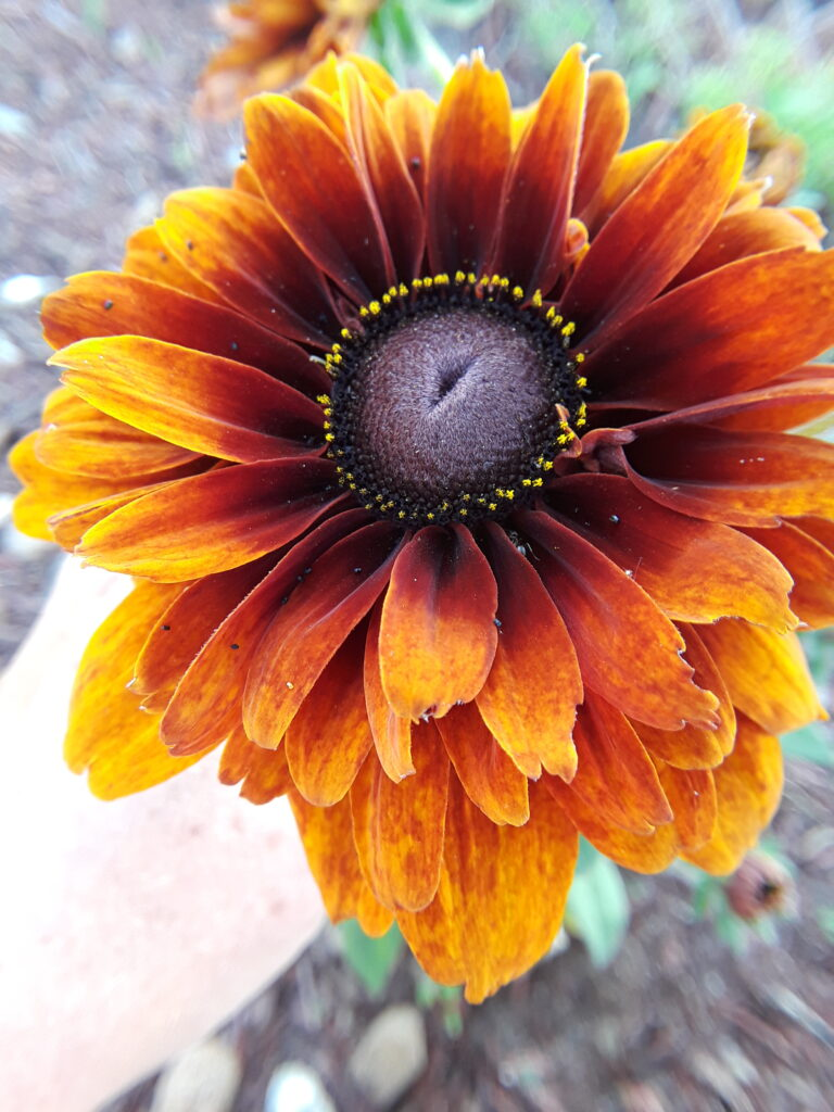 a double rudbeckia captures the golds, crimsons, and mahoganies of fall