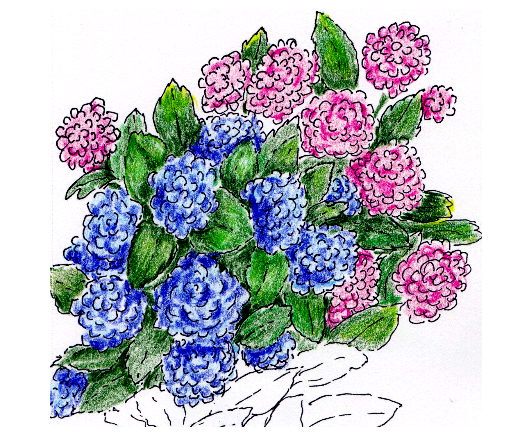 Pink and blue mophead hydrangea blooms