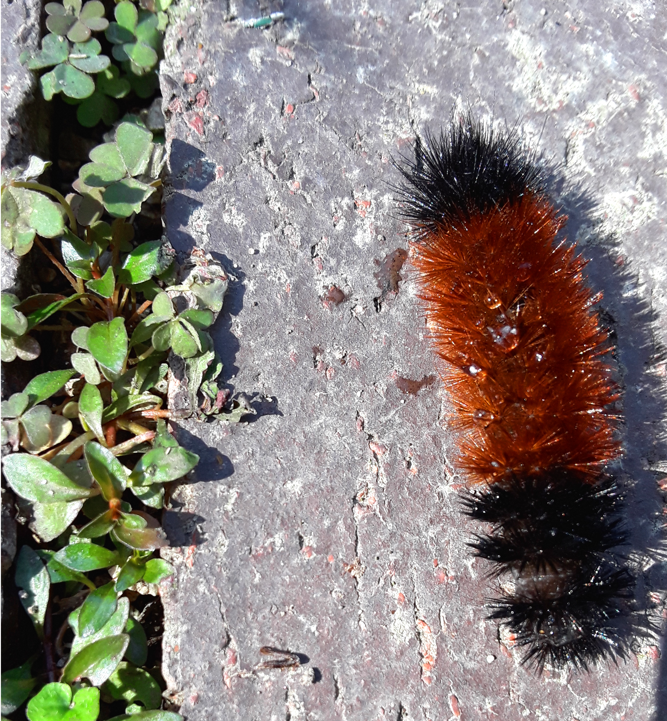 woollybear caterpillar