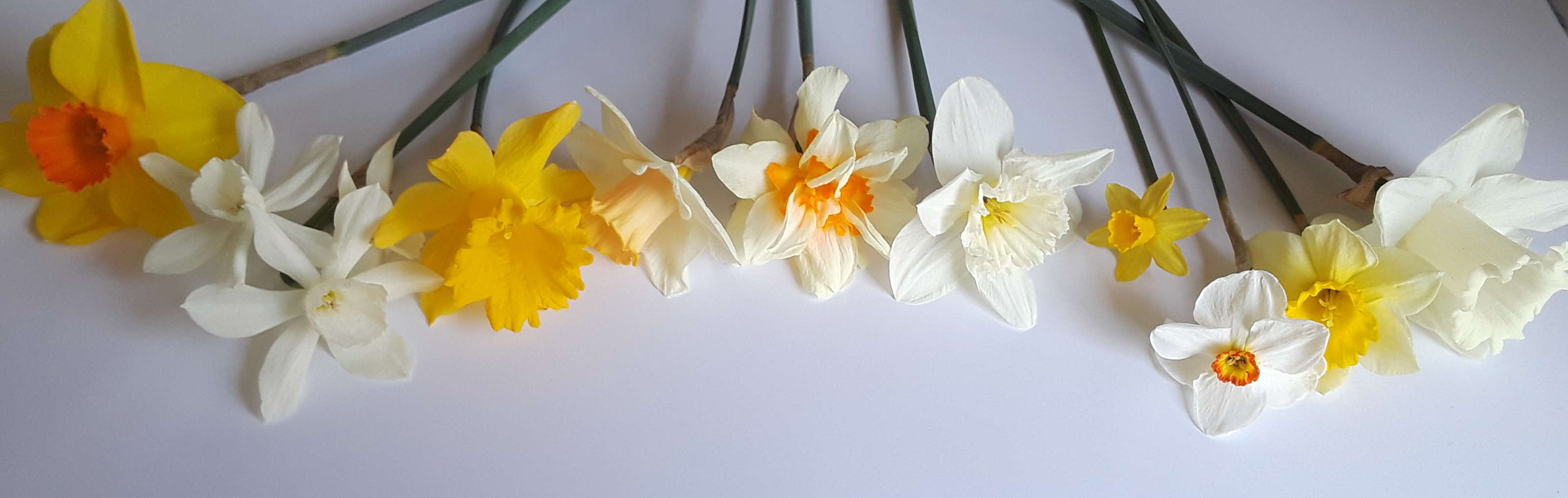 a lined up display of yellow, white, and multi-colored daffodils