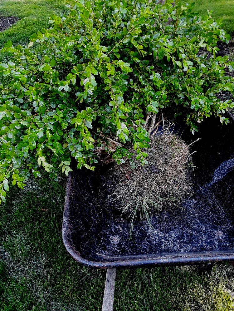 a large boxwood bush in a wheelbarrow to be transplanted
